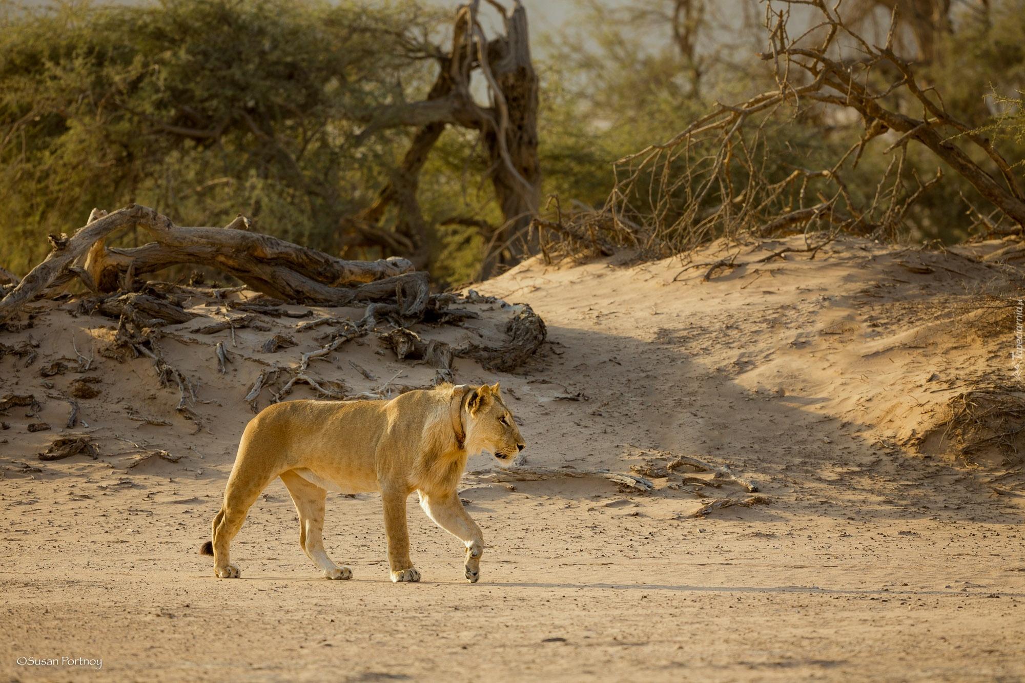 картинки пустыня и тигр канули