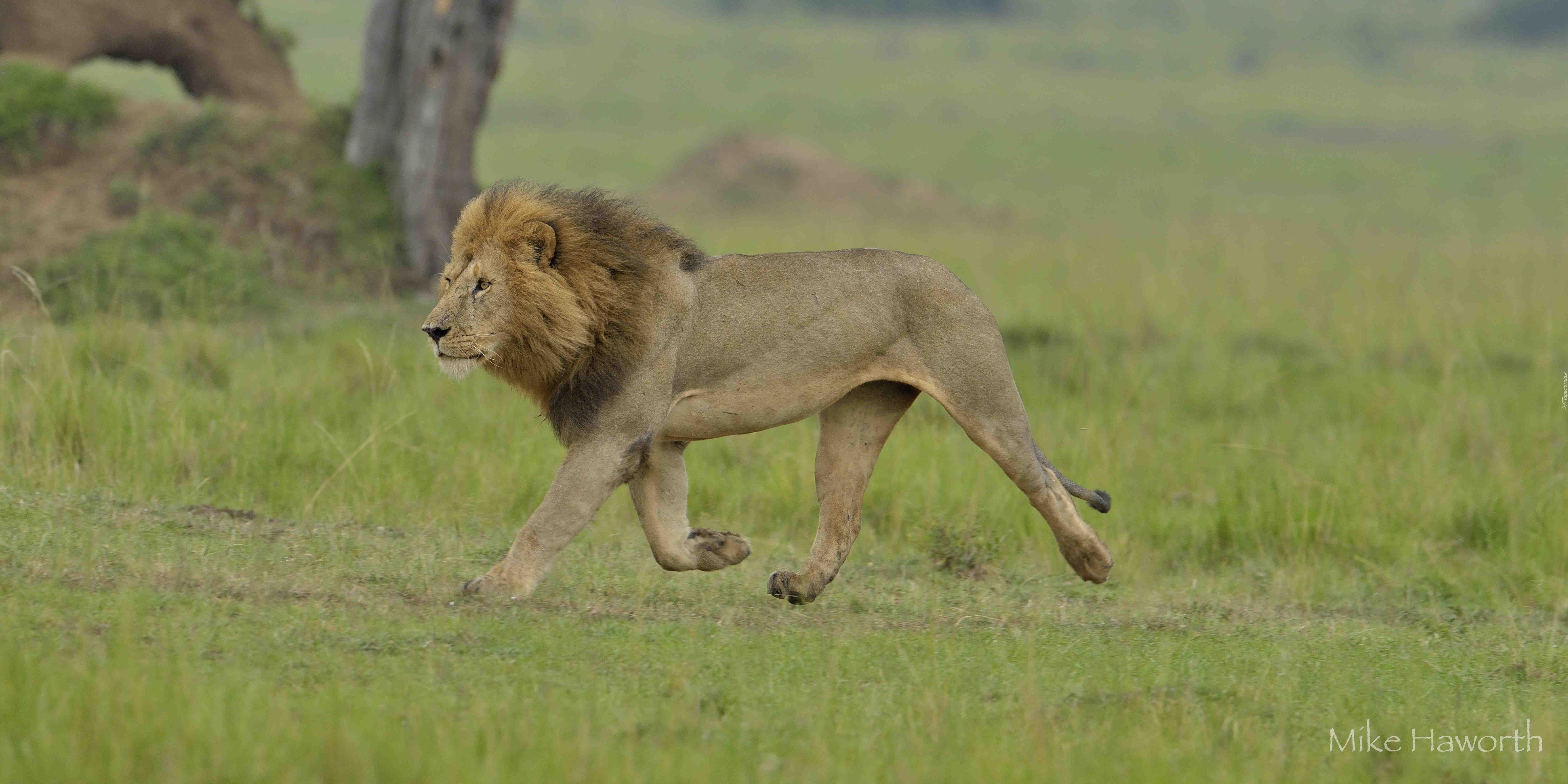 картинка шагающих львов вы
