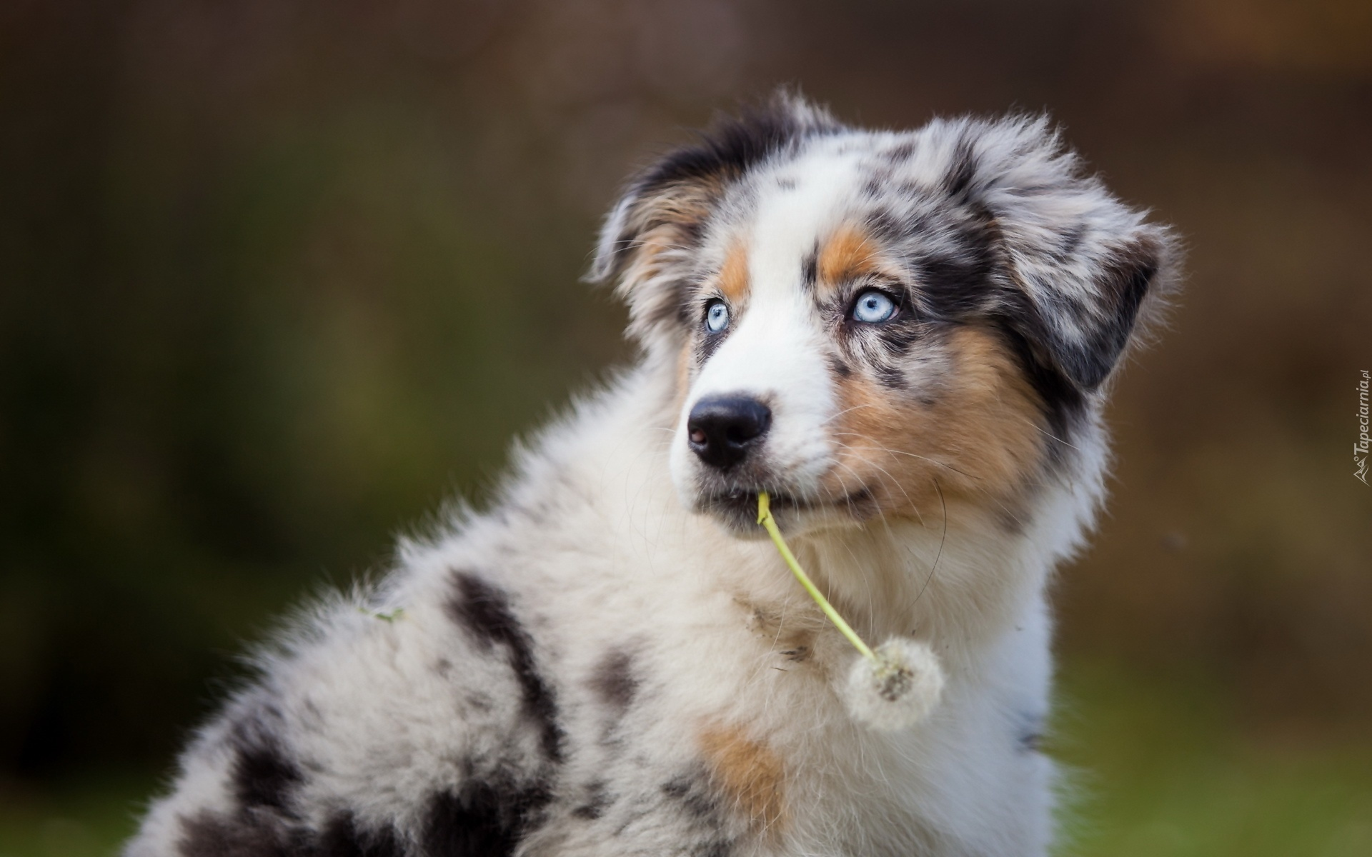 Which Breed Of Dog Has Blue Eyes
