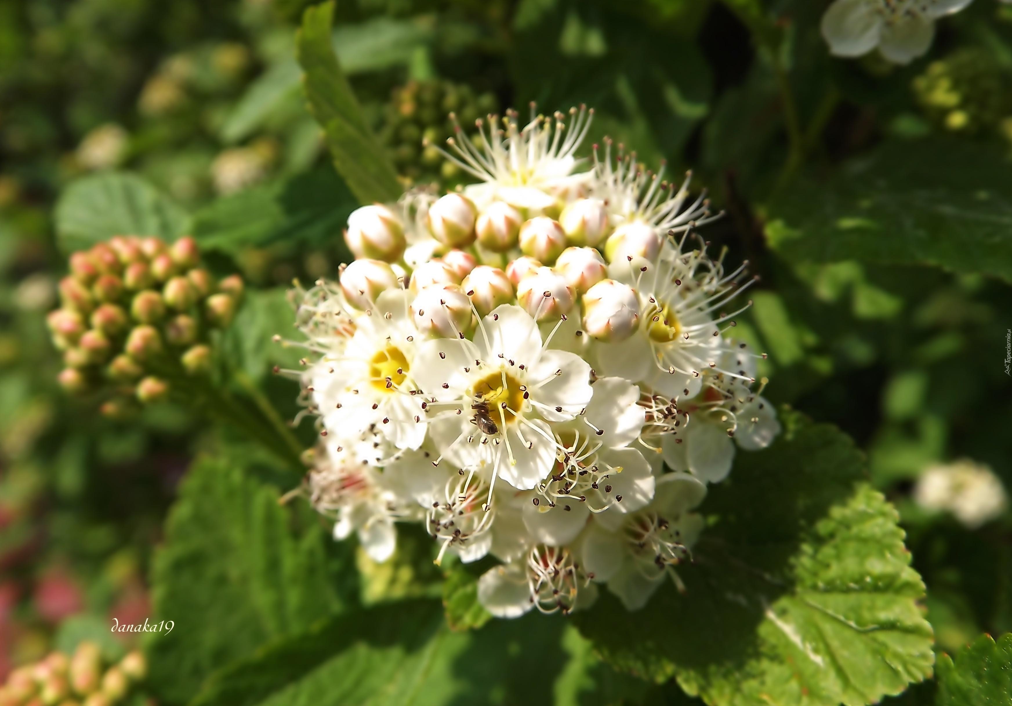 Tawula Japonska Biale Kwiaty Makro
