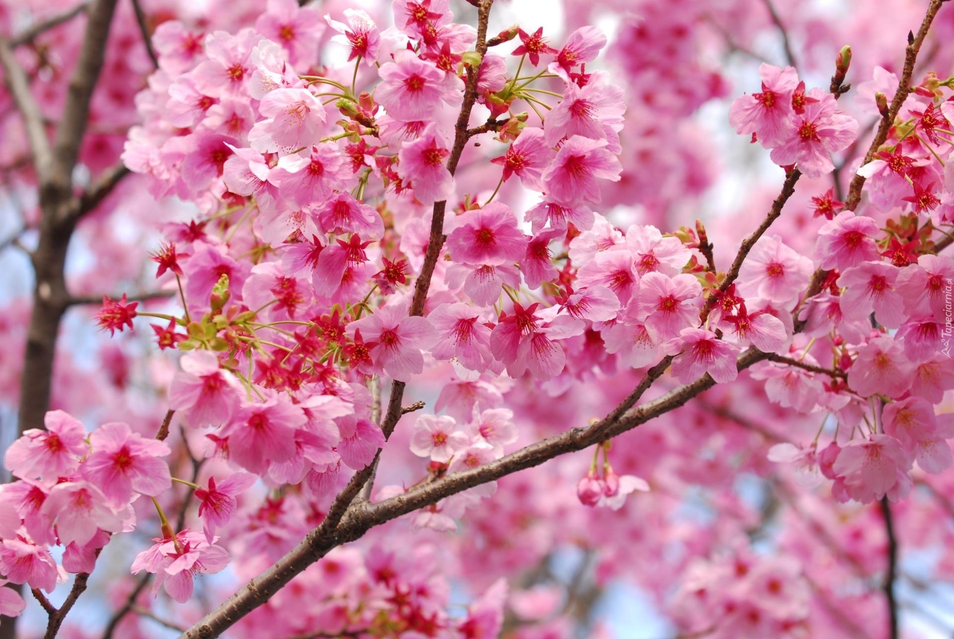 Flores Horizontales Dibujos Animados Patrón De Fondo: Drzewo, Owocowe, Różowe, Kwiatki, Rozmycie