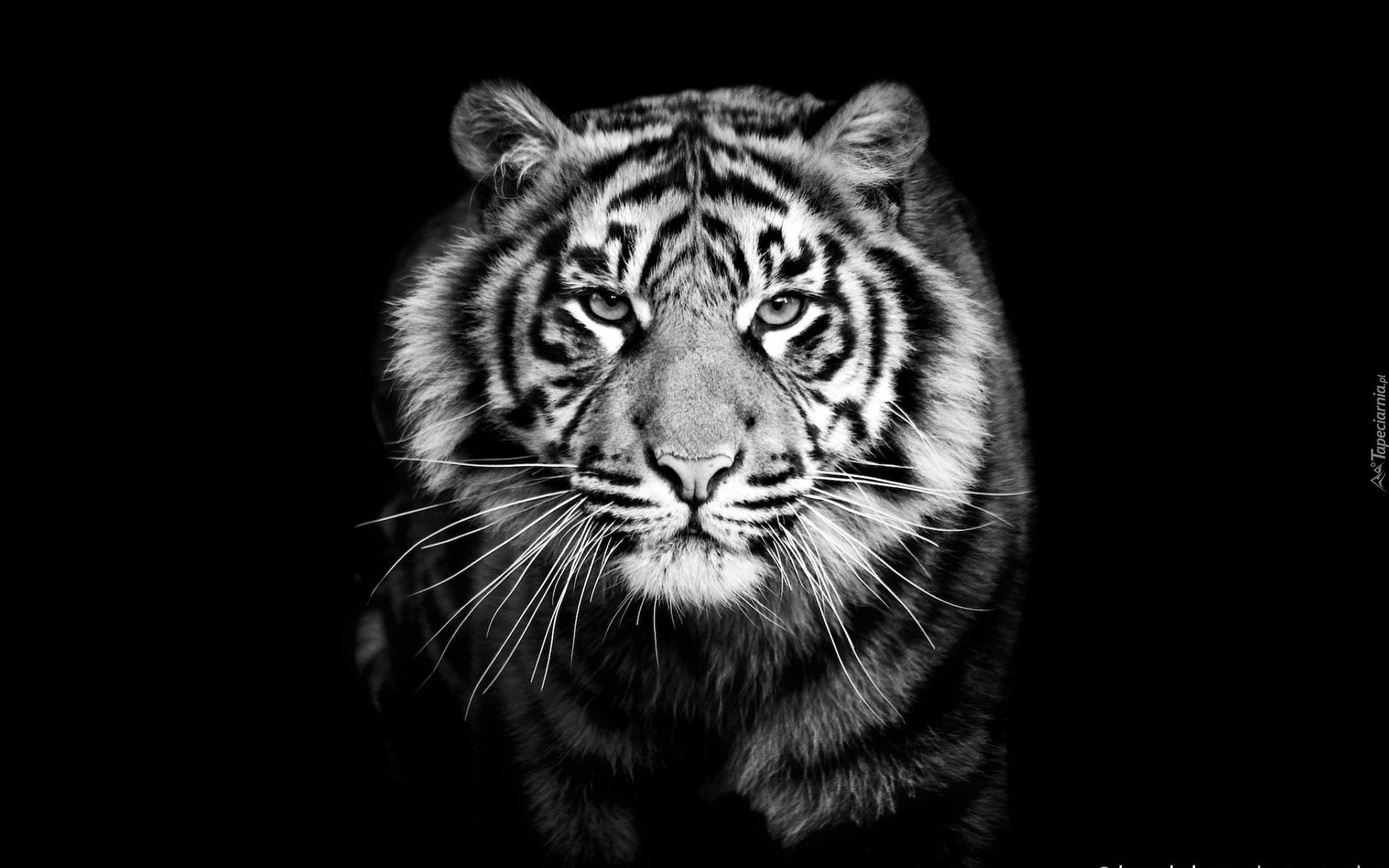 Leopard 4k Black Background Hd Animals 4k Wallpapers: Tygrys