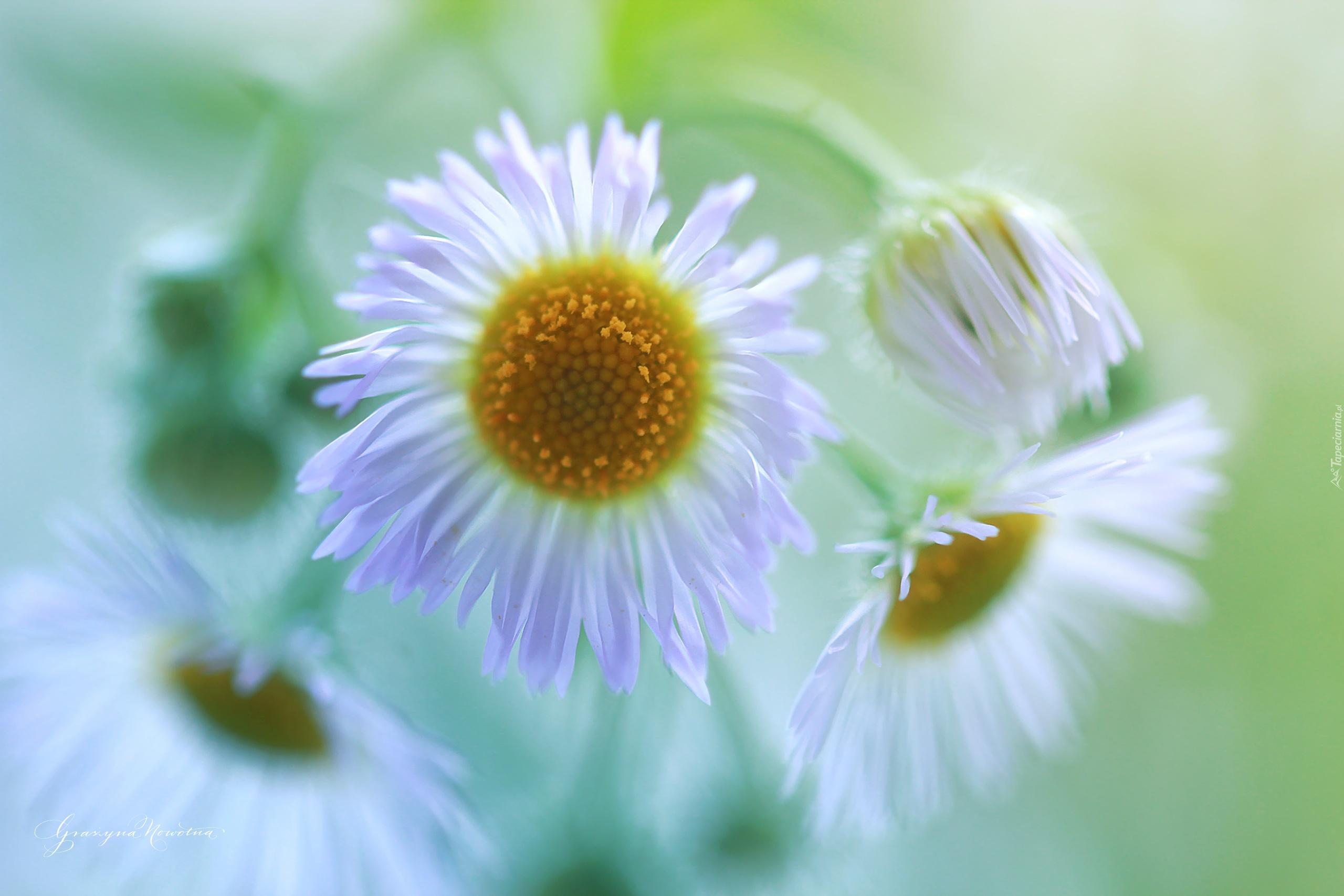 Przymiotno Biale Kwiaty Lakowe
