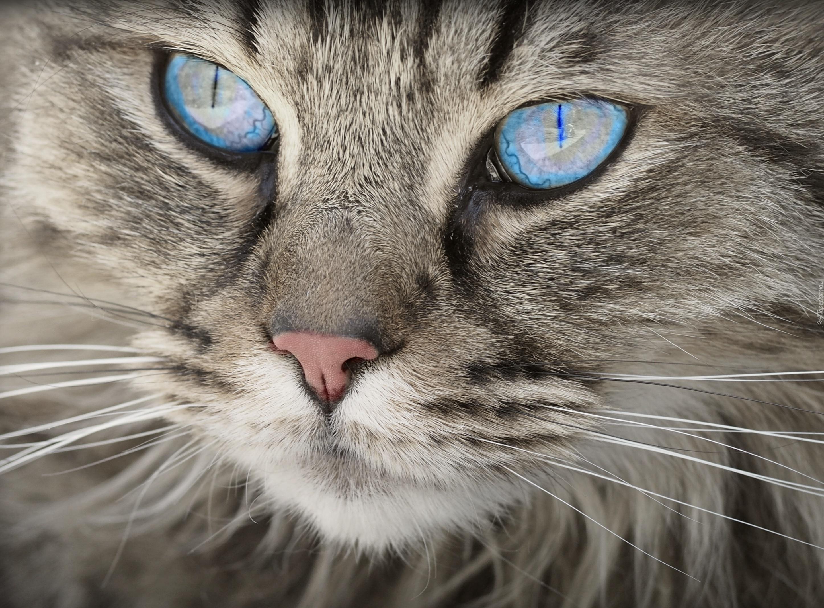 Kot Niebieski Z Niebieskimi Oczami