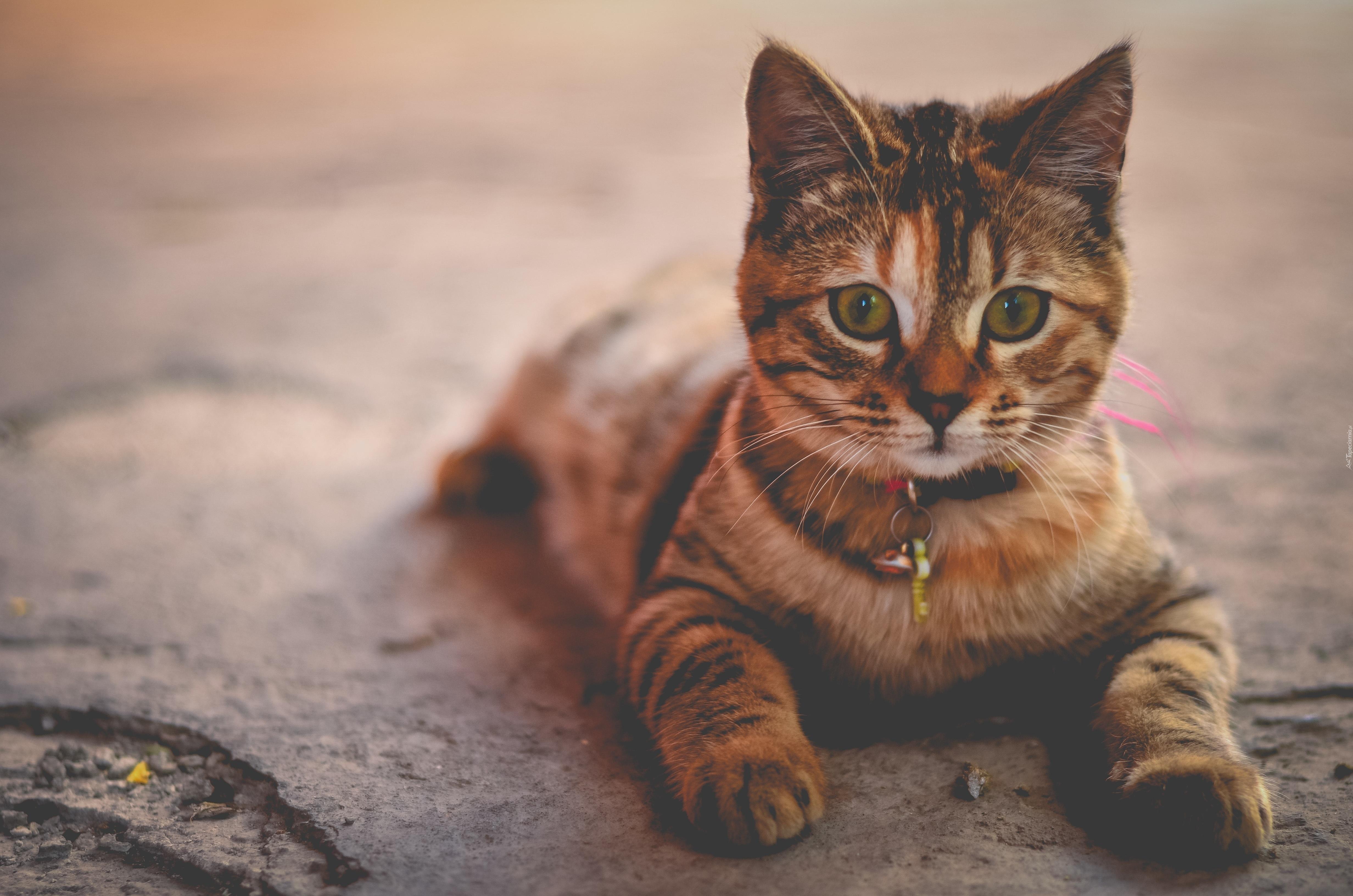 Kot Brytyjski Pręgowany