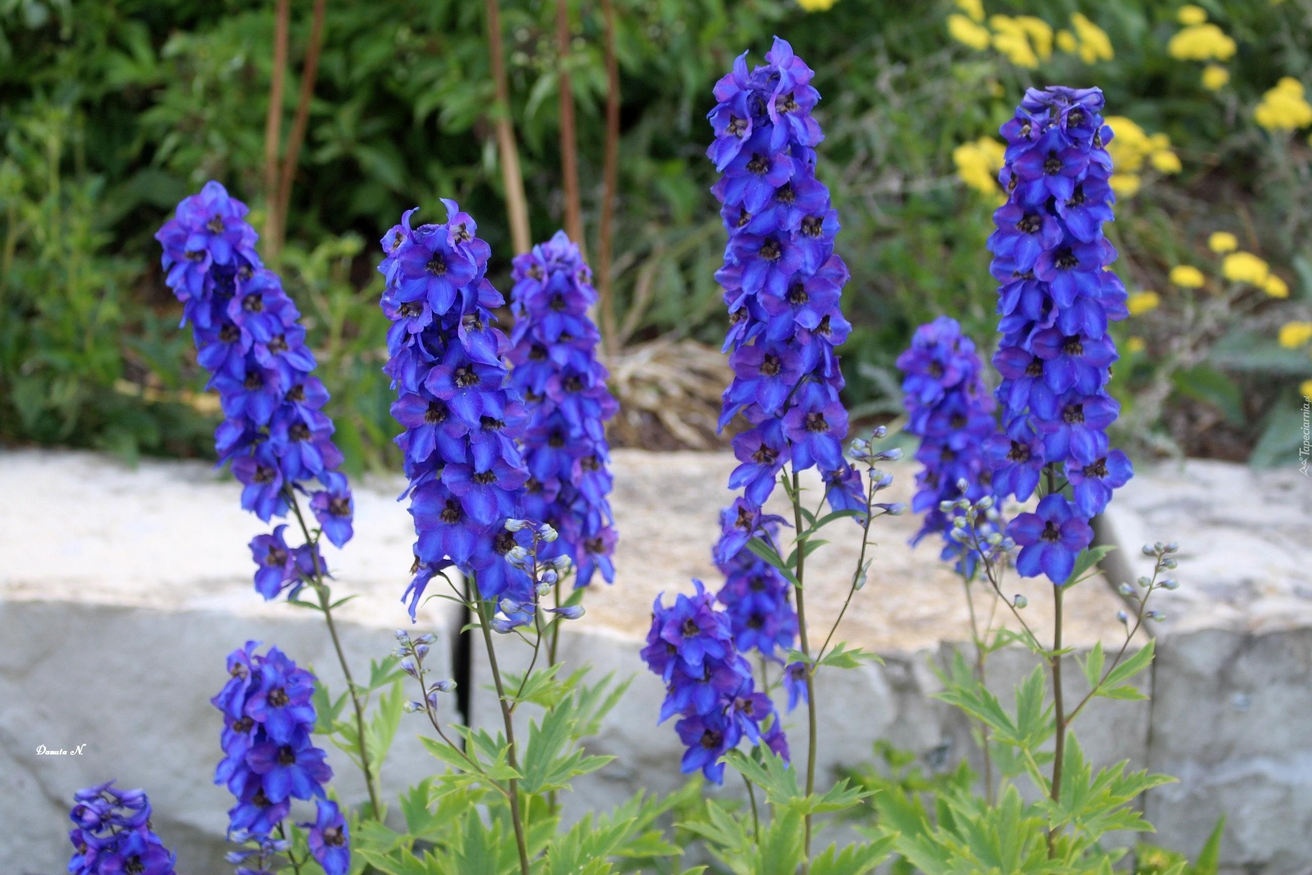 Niebieskie Kwiaty Ostrozka Ogrod
