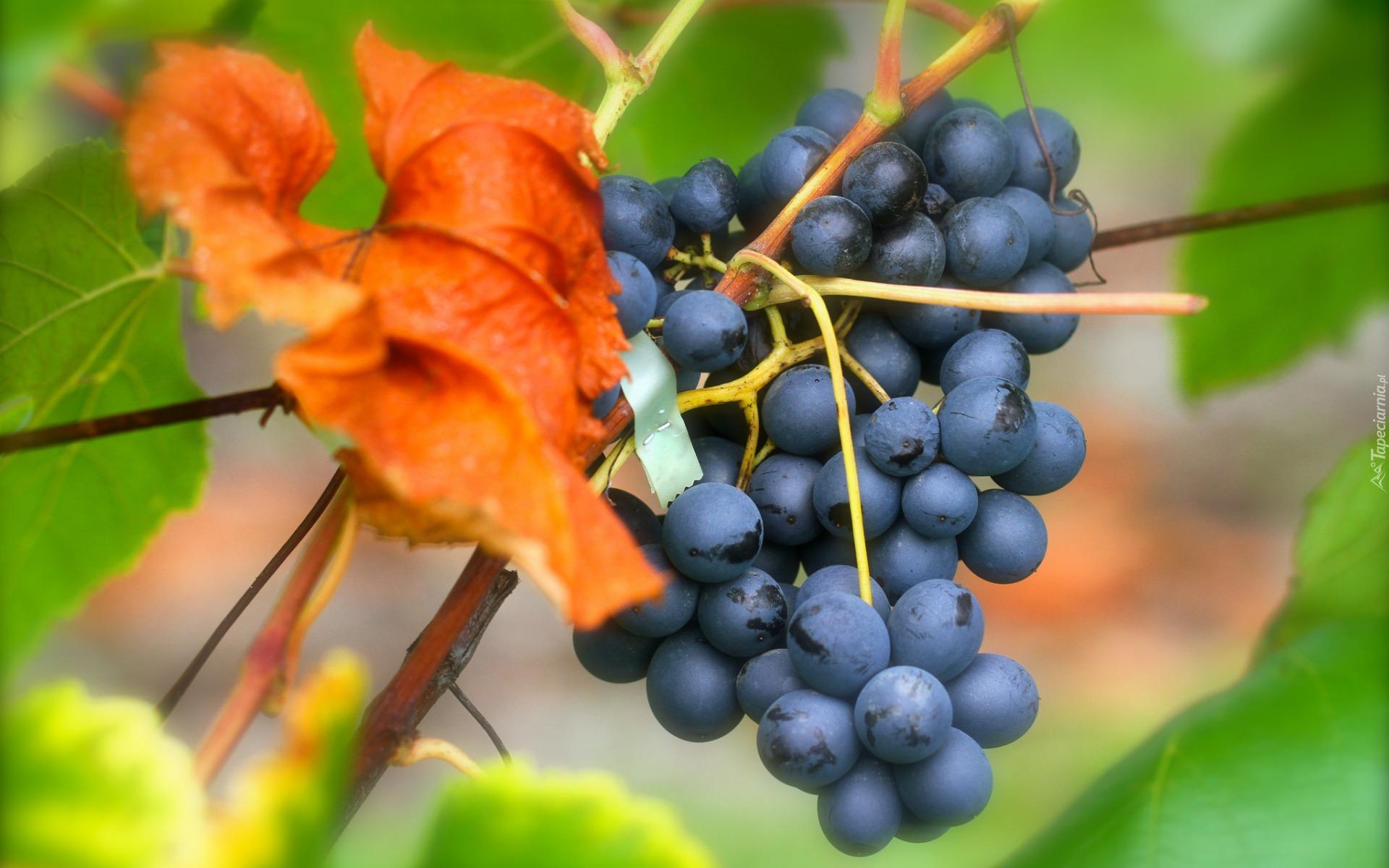 виноград гроздь ветка бесплатно