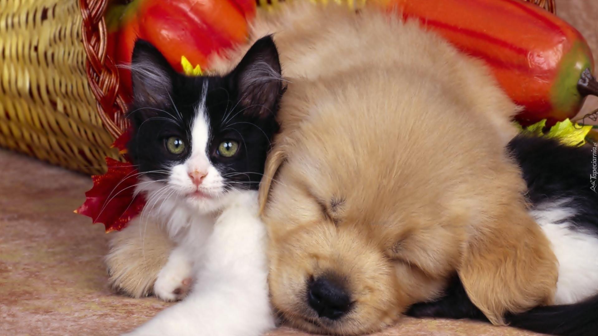 Pies Kot