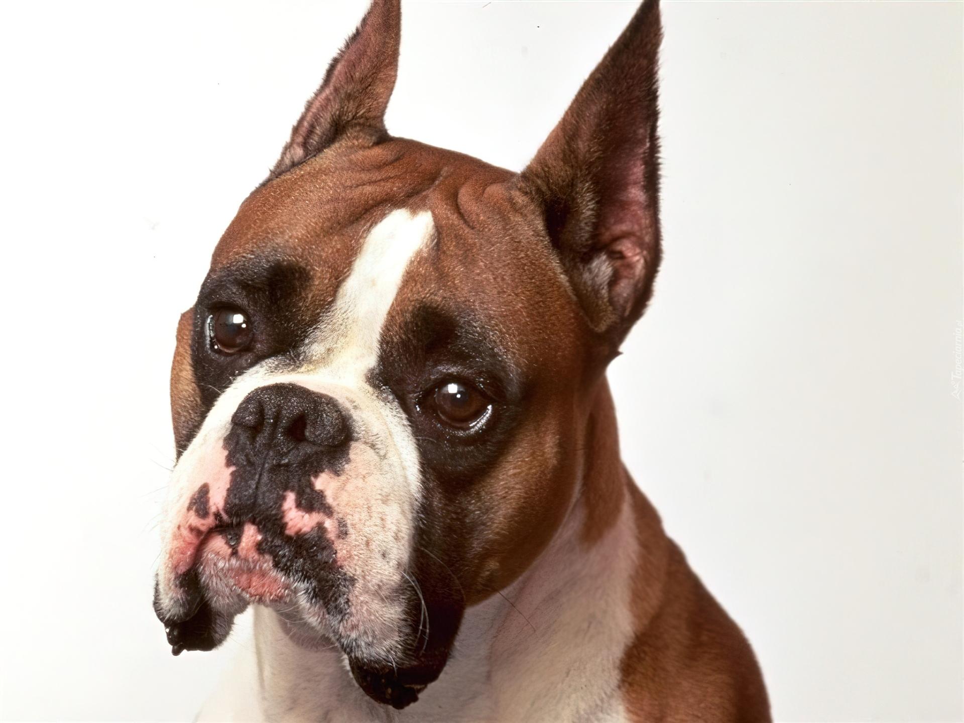 Pies Szpiczaste Uszy Bokser