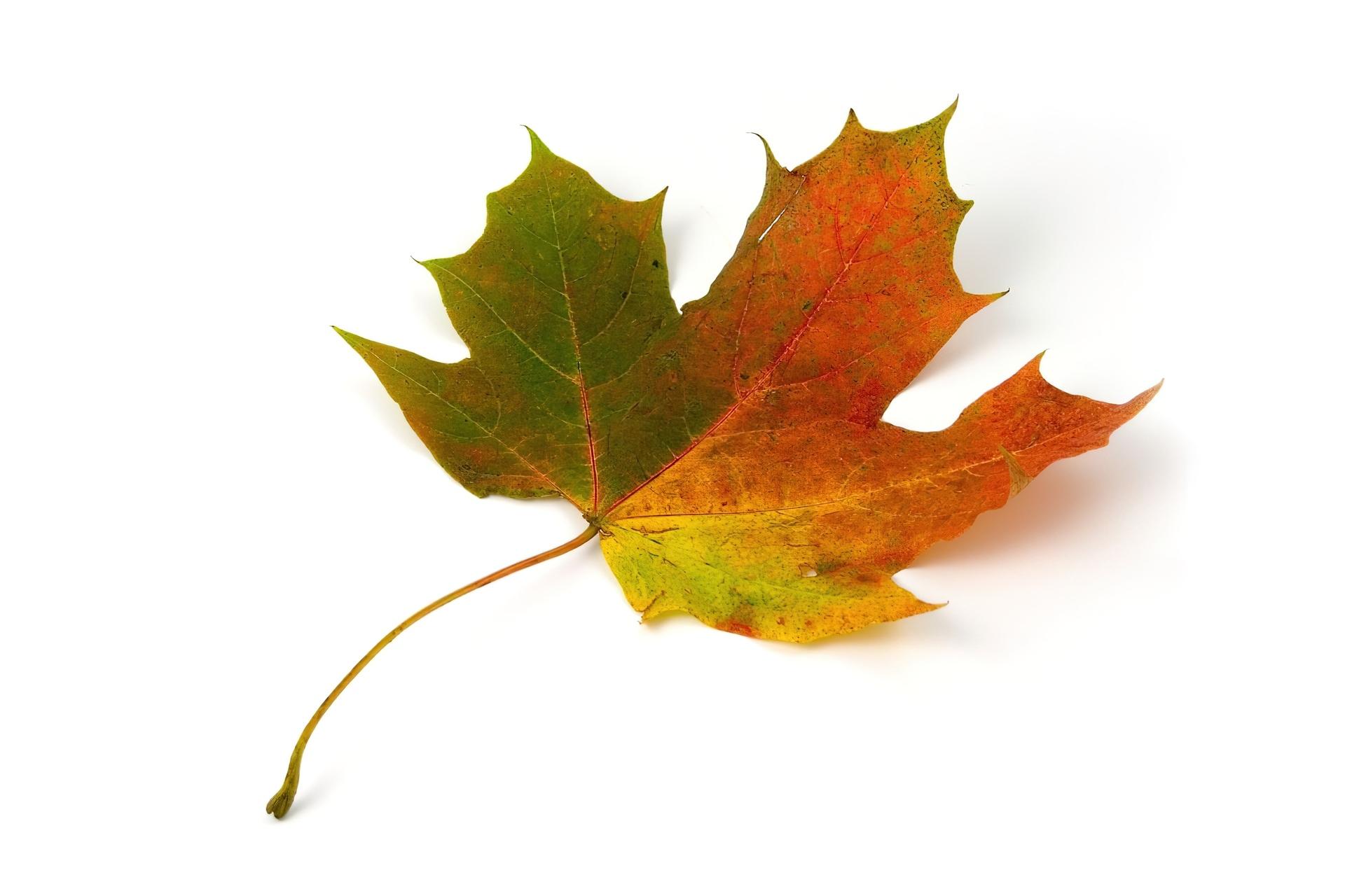 Znalezione obrazy dla zapytania: liść