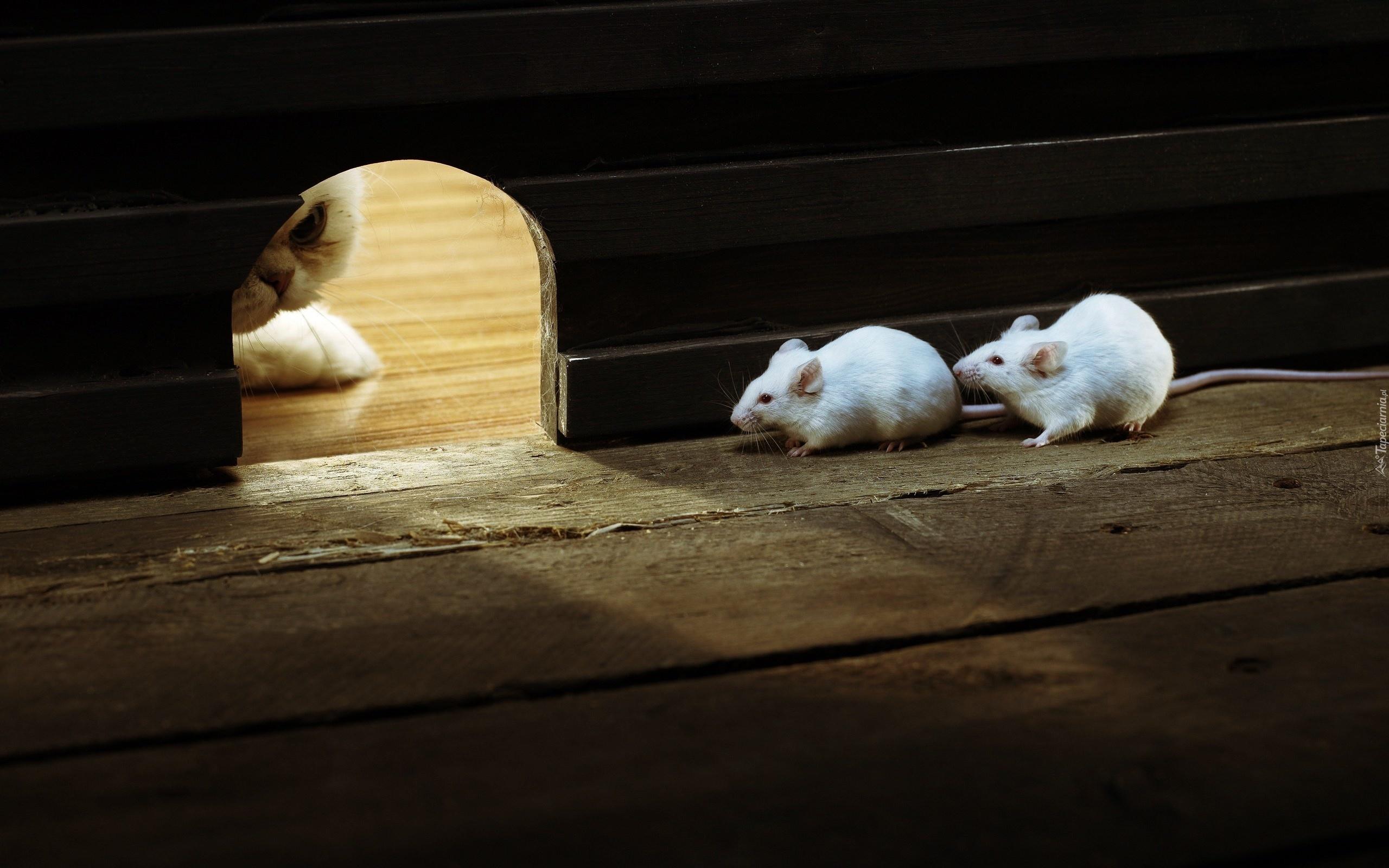 Dwie Myszki Otwór Przyczajony Kot