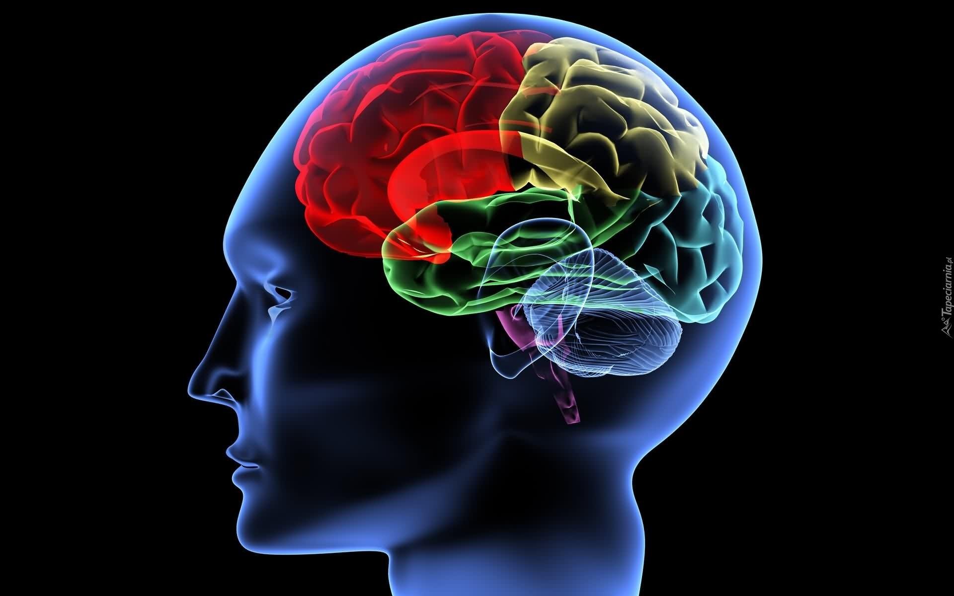 Kolorowy, Mózg