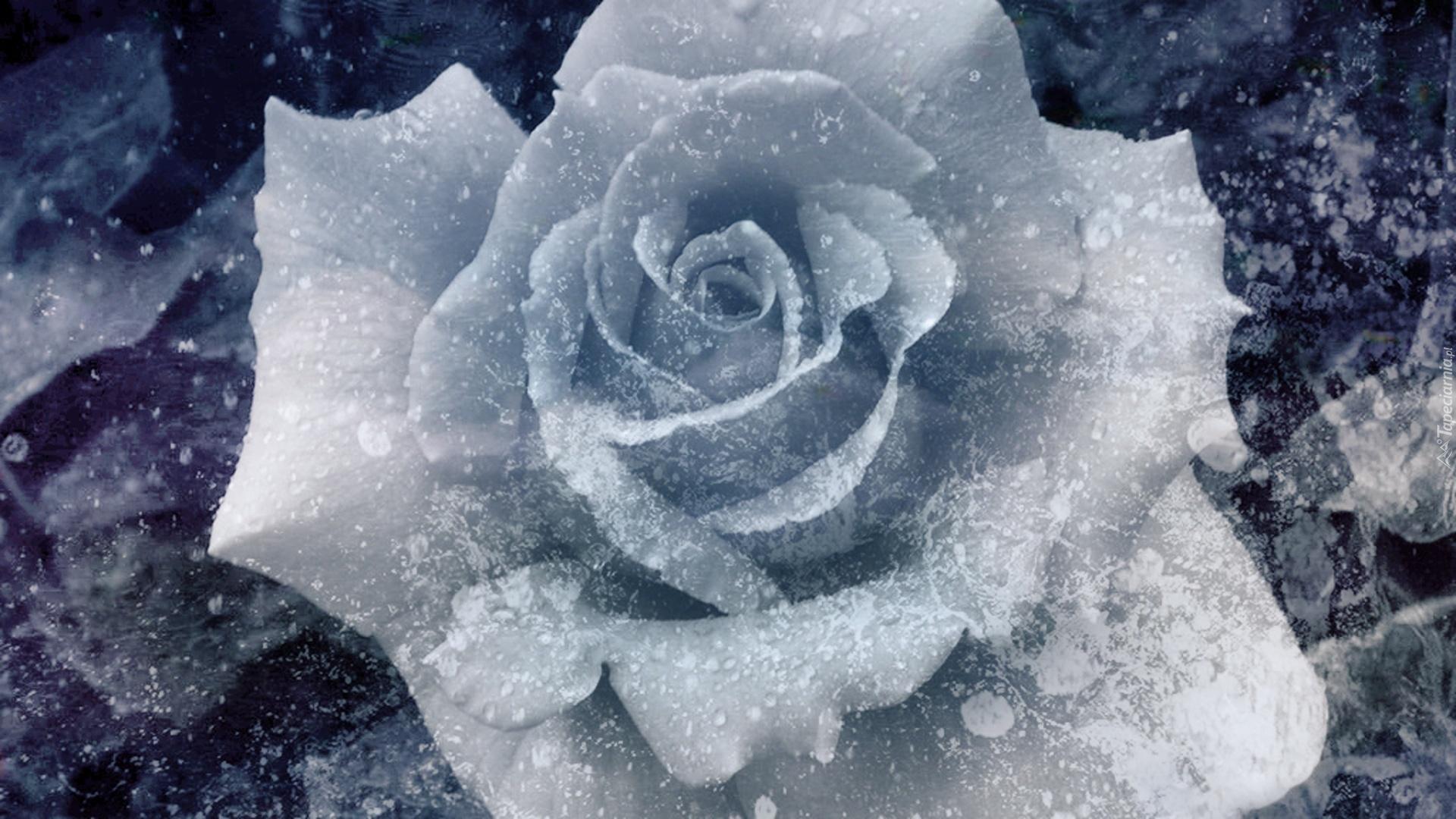 Картинки тел, картинки белая роза на снегу