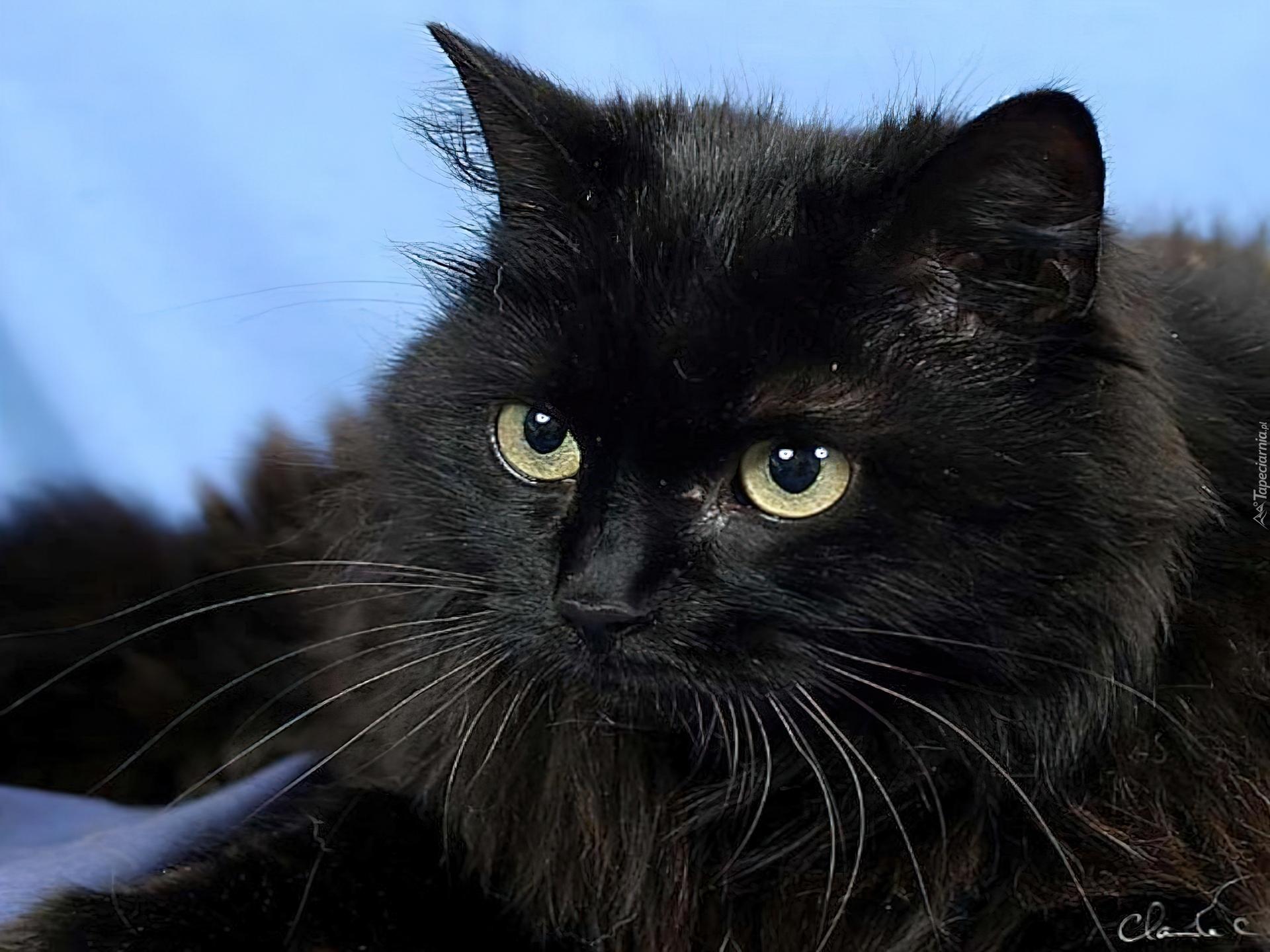 Czarny Kot Wąsy