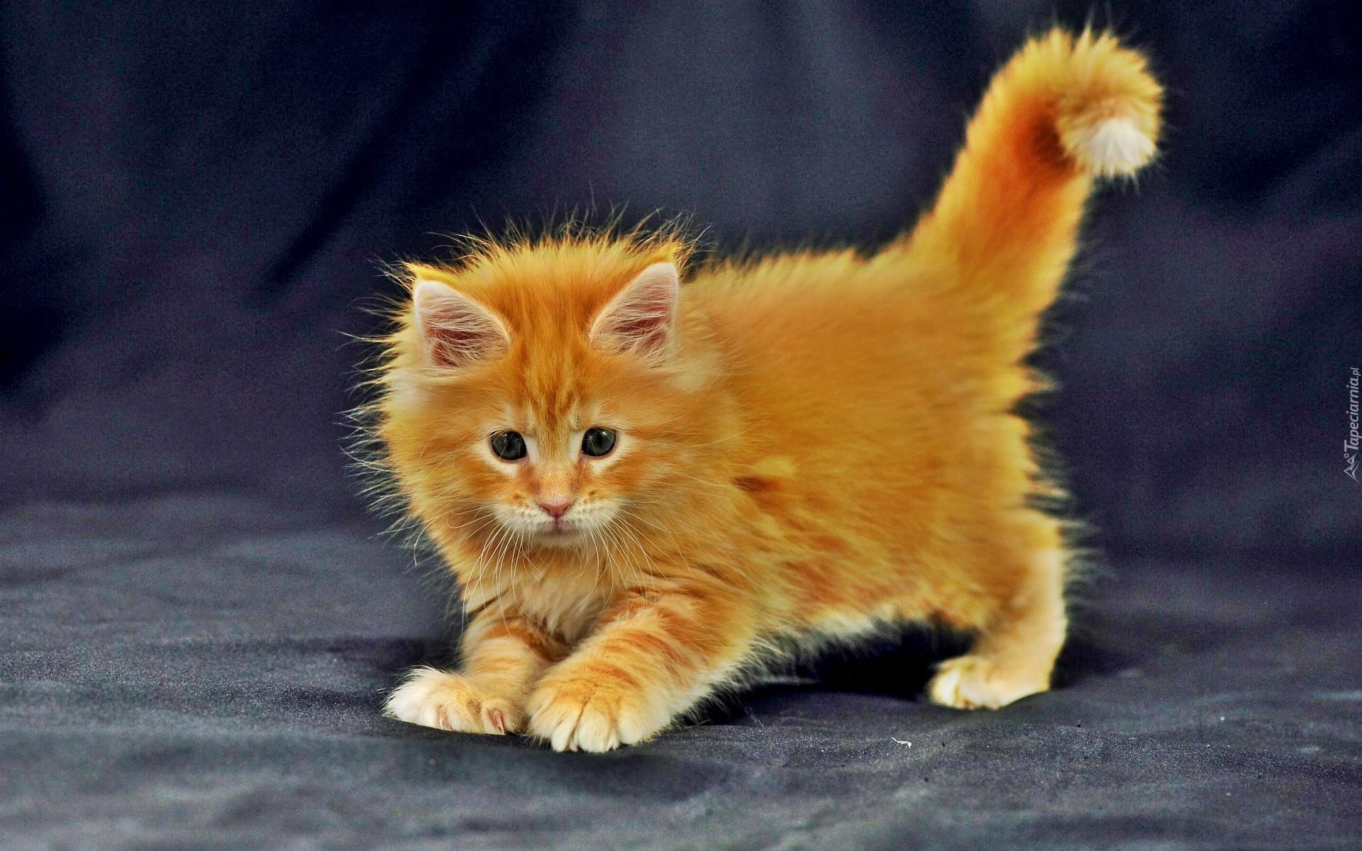 Mały Rudy Kot