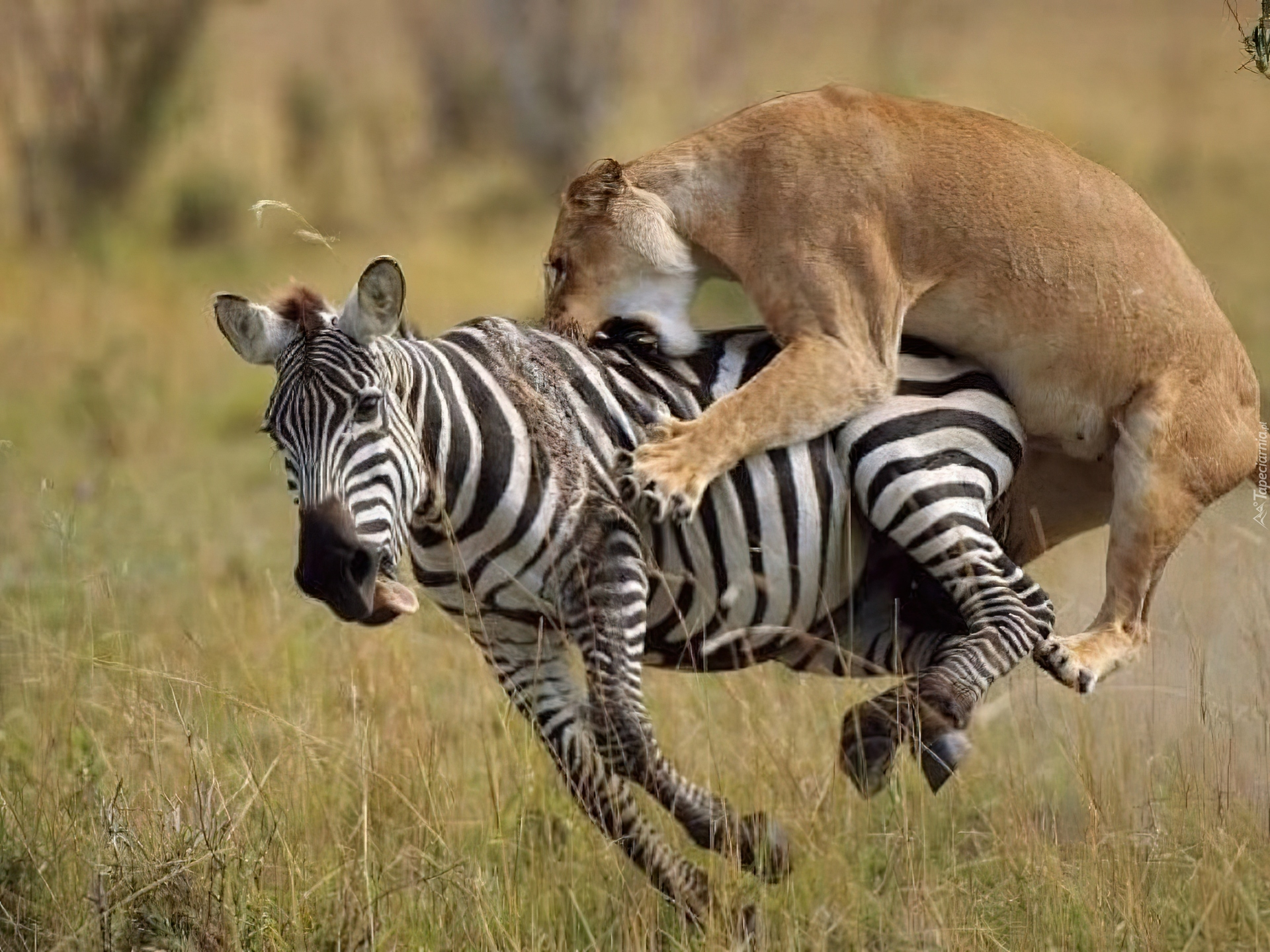 умеешь картинки львов пантеры и зебра стал длиннее