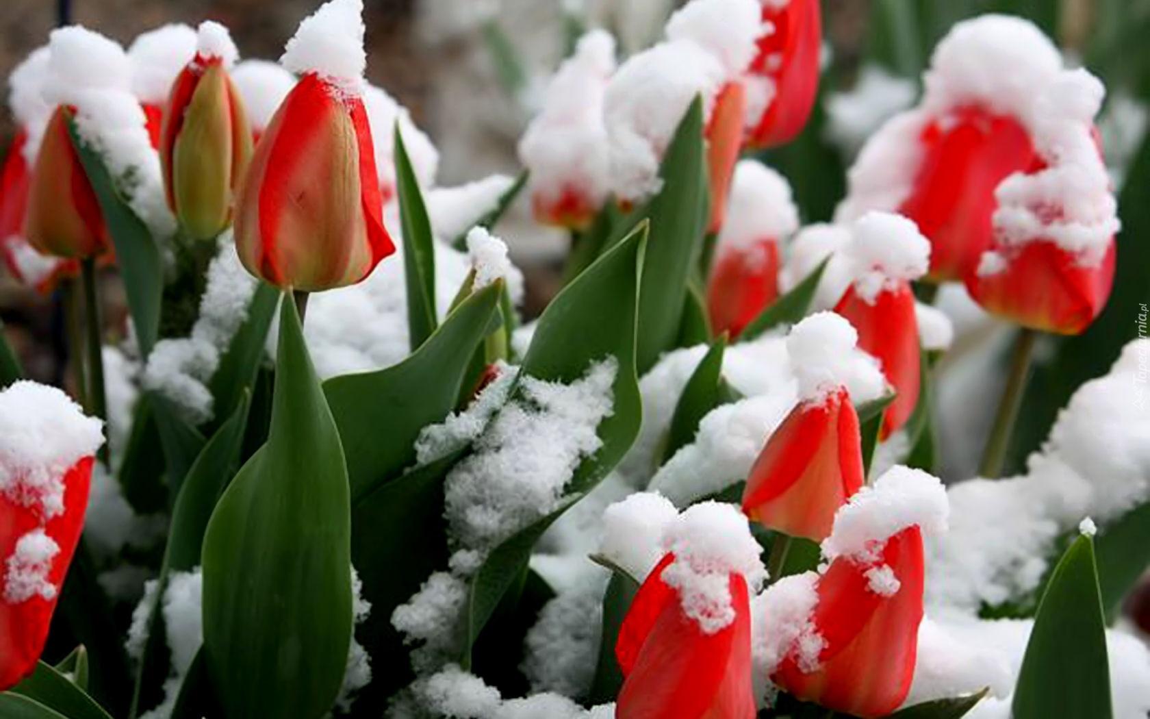 Красными тюльпанами к нам пришла весна
