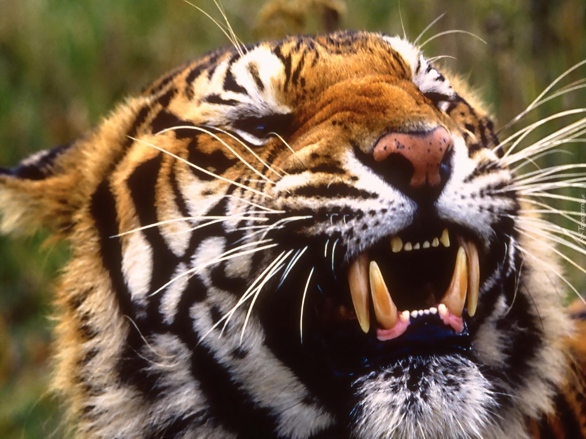 Tygrys Kły