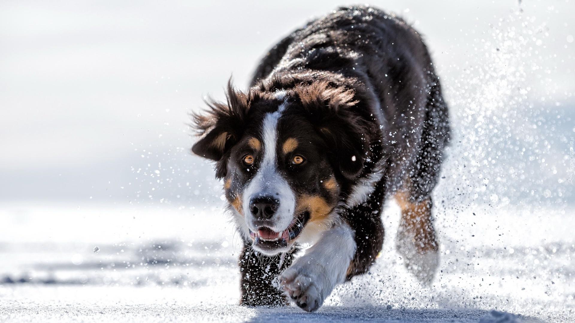 berne u0144ski pies pasterski biegnie po  u015bniegu