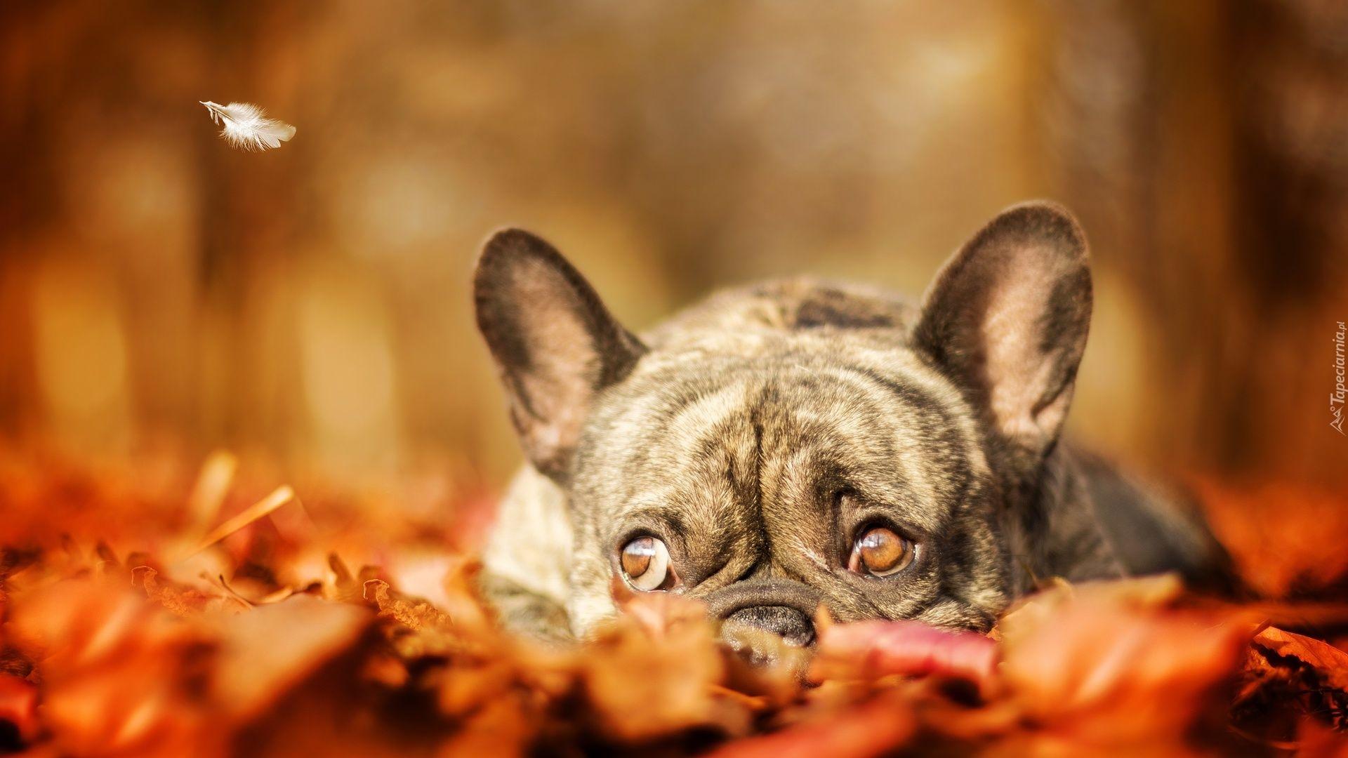 A Akita Dog Tapety : Buldog