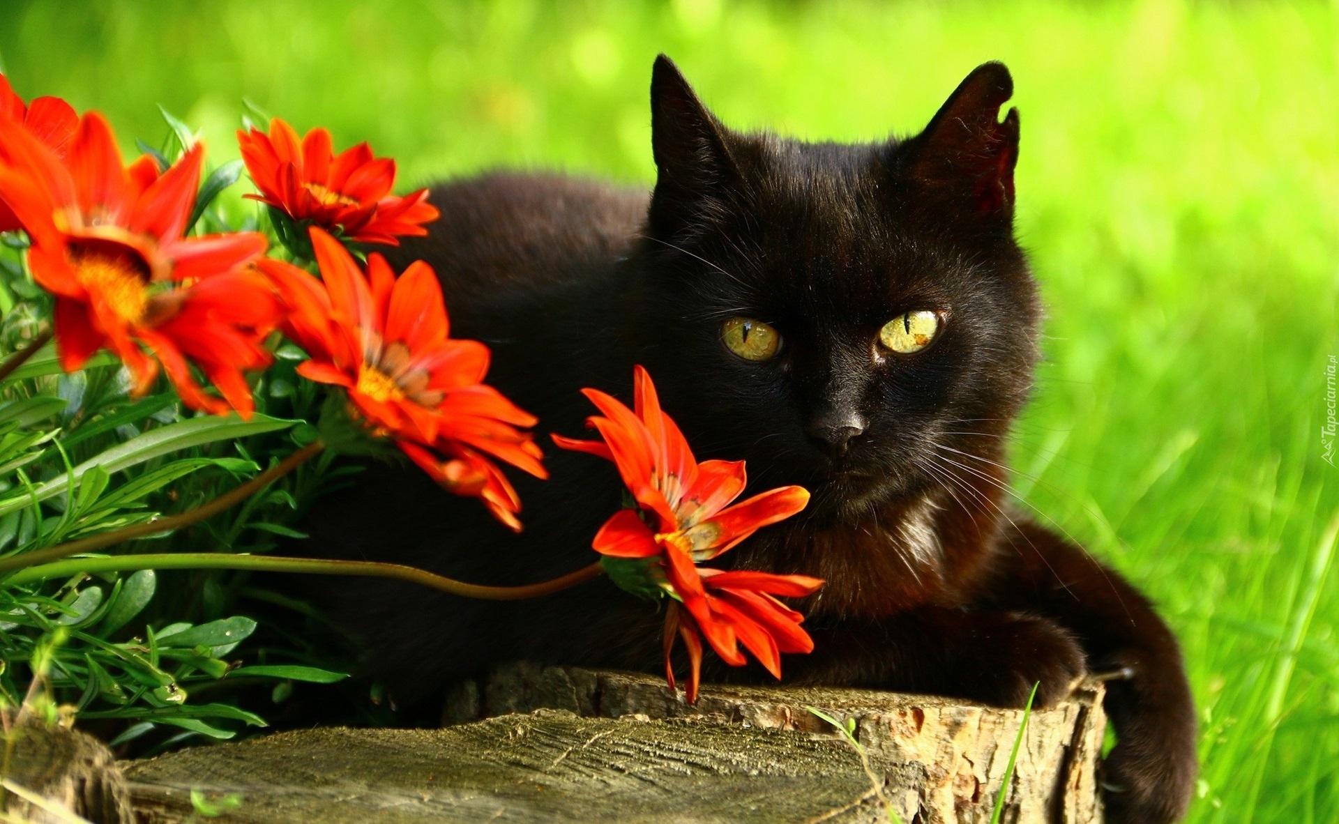Czarny Kot Leży Na Pieńku Obok Czerwonych Gerber