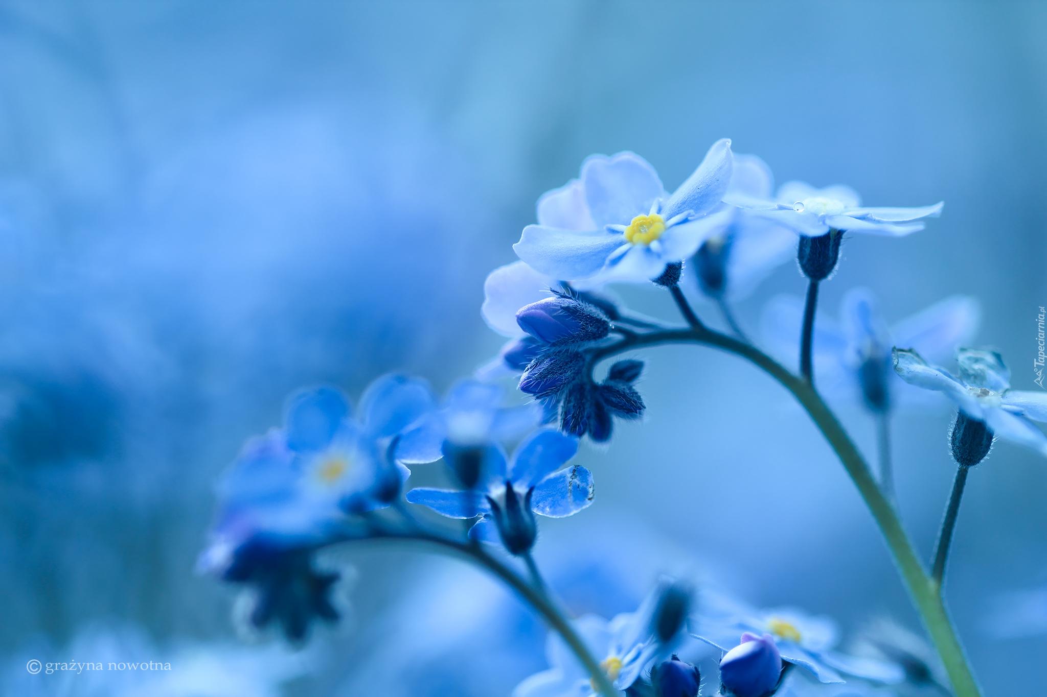 синие цветы природа незабудки бесплатно