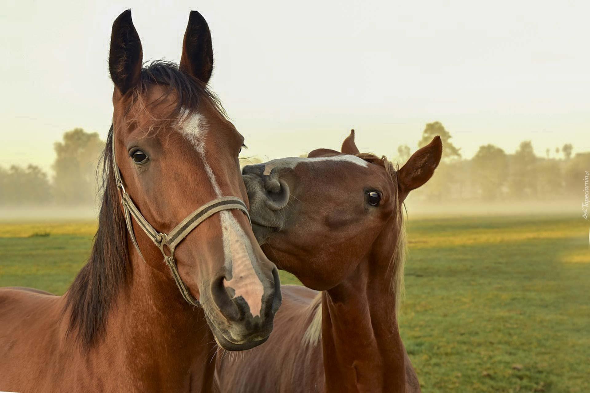 tapeta-dwa-kasztanowe-konie-na-pastwisku.jpg