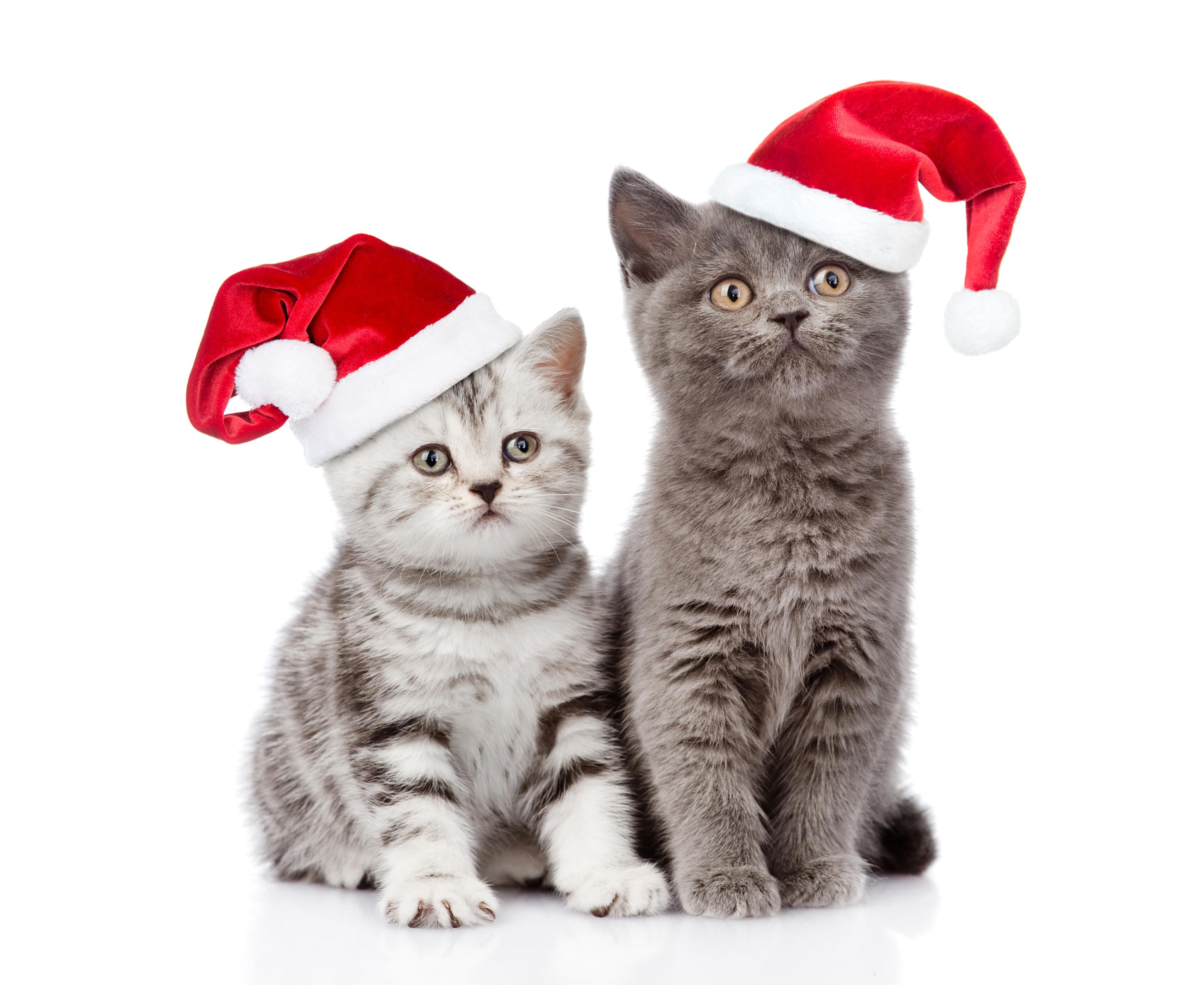 Dwa Kotki W świątecznych Czapeczkach