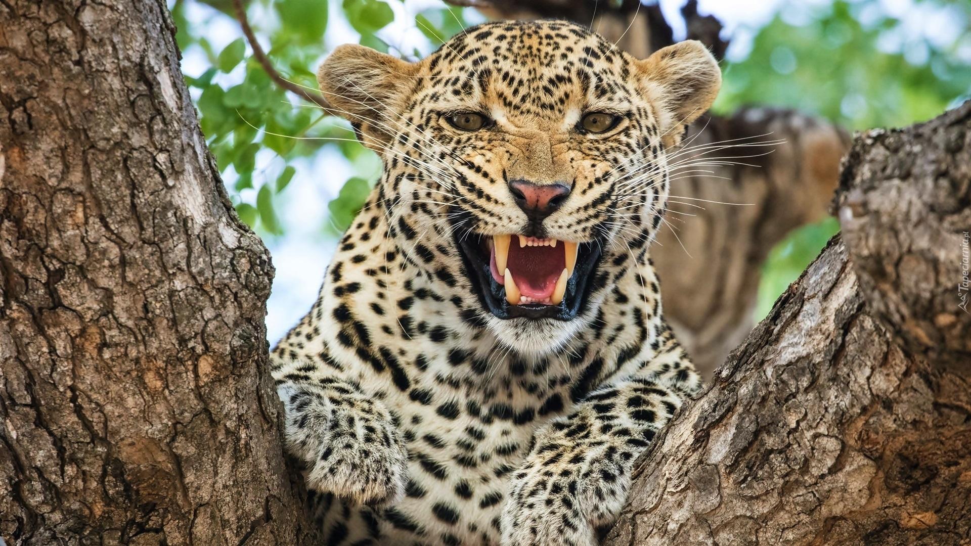 jaguar afrika with Tapeta Grozny L Art Plamisty Szczerzy Kly Na Drzewie on Leoparden Alles Ueber Die Stolzen Raeuber together with Fennek as well Animal Of Week Amur Leopard in addition 574 Kamel Dromedar Unterschied as well King Cheetah 357525586.