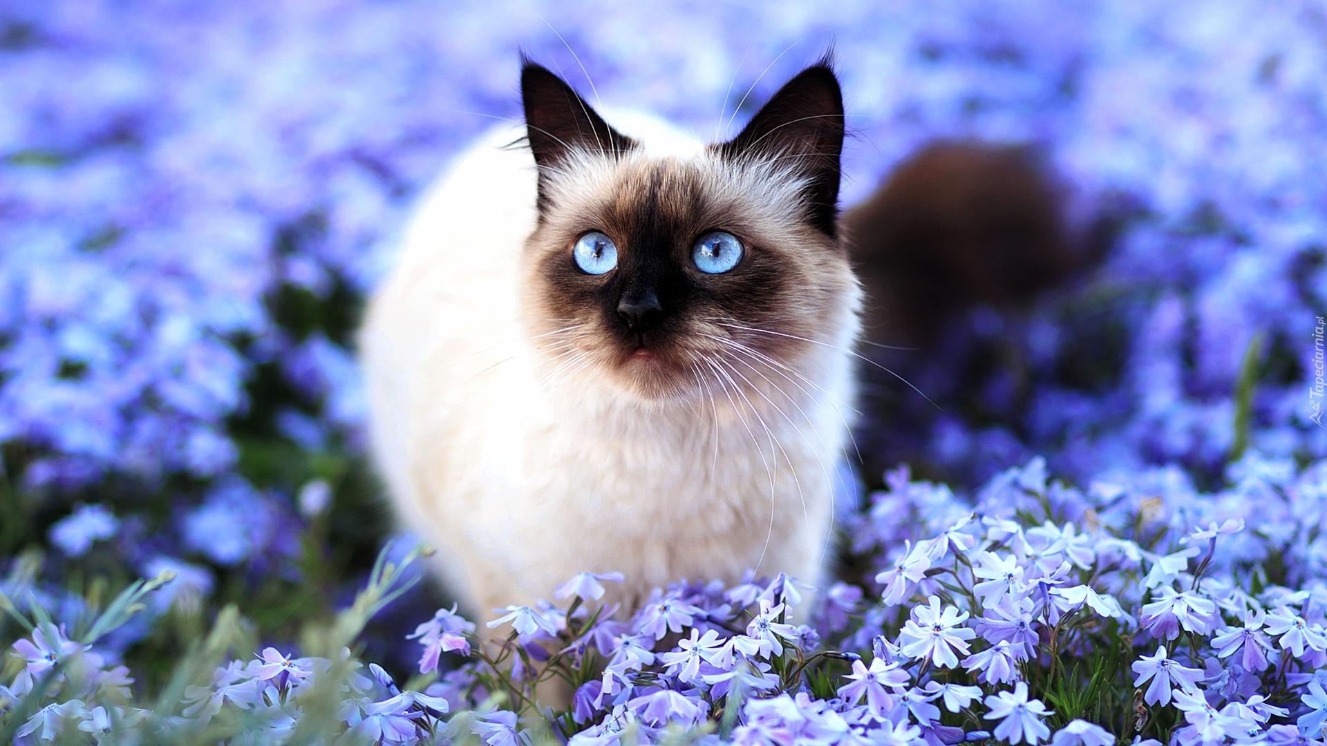 Kot Syjamski W Kwiatach
