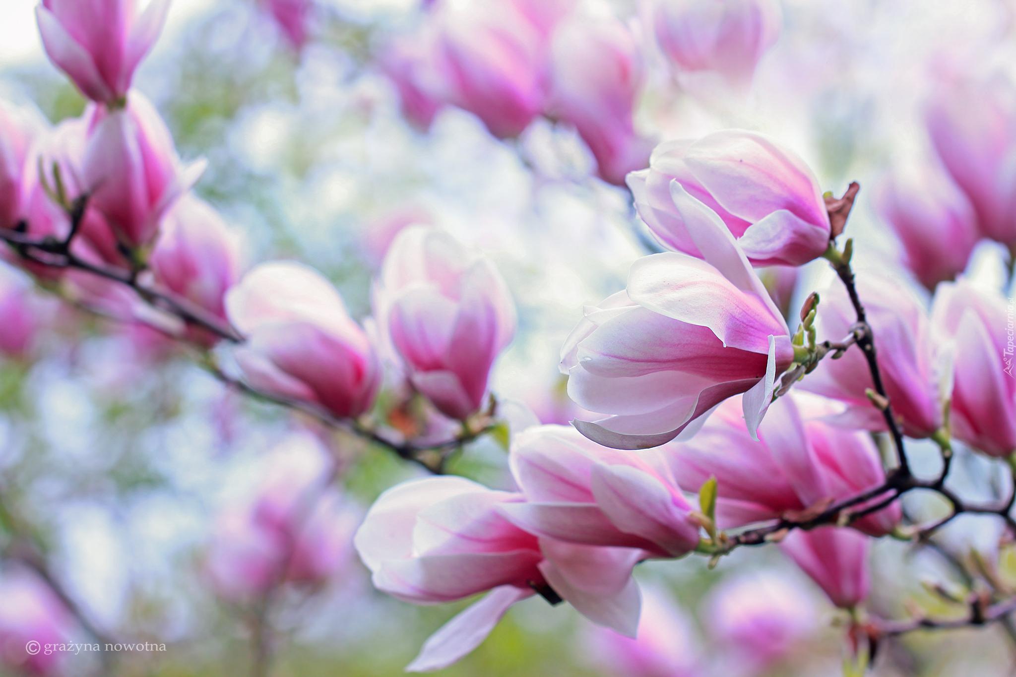 Magnolia Kwiaty Magnolii