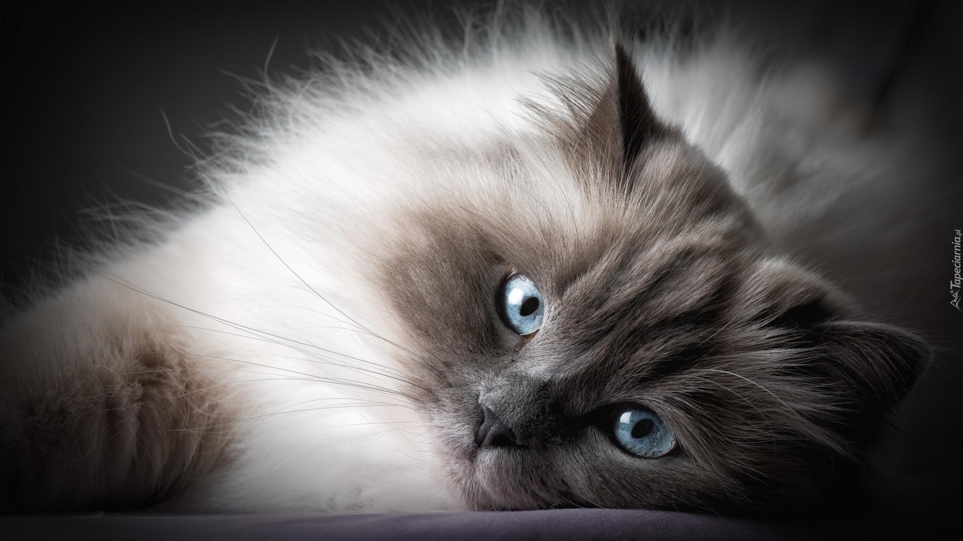 Tapety Kot