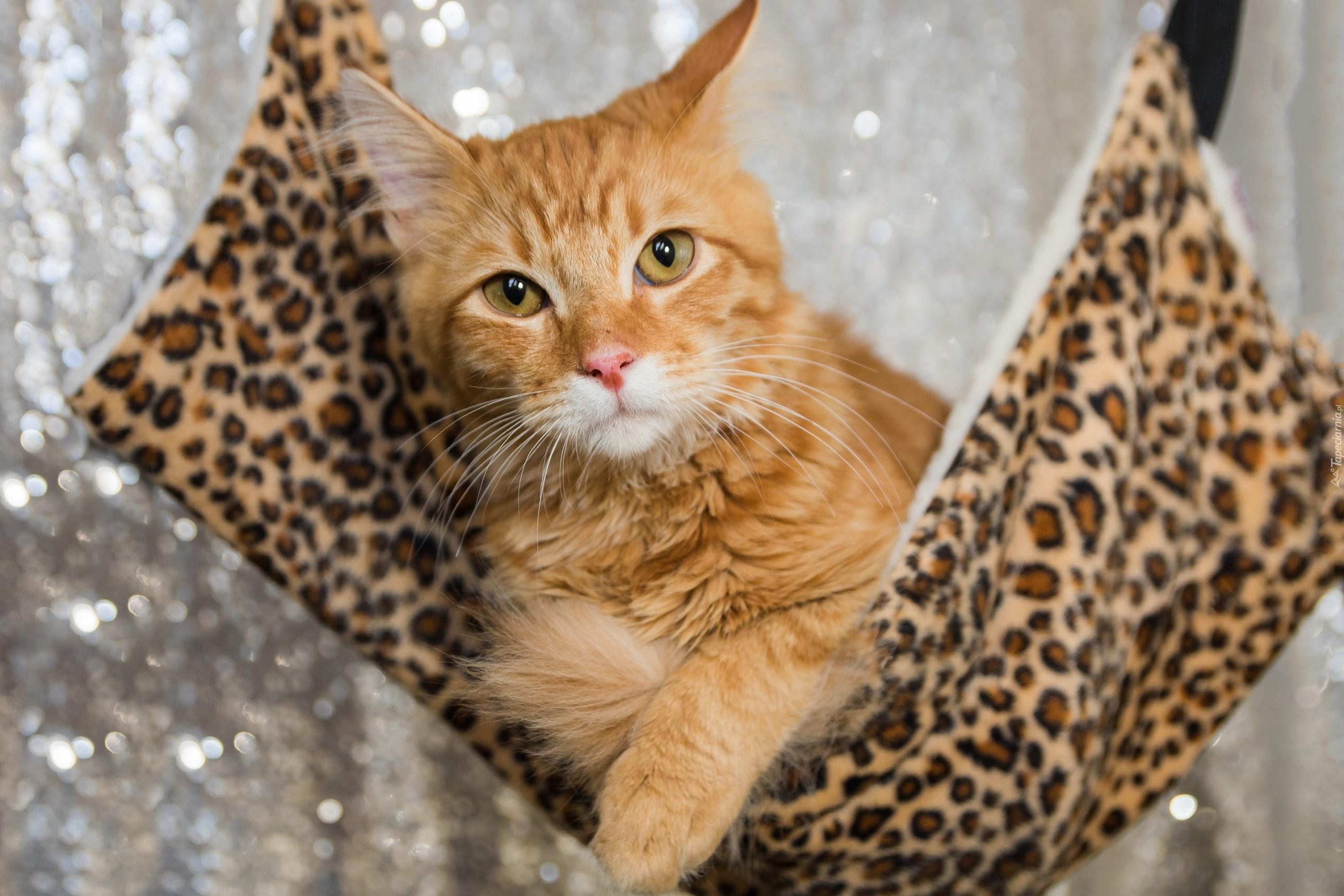 Rudy Kot Na Hamaku W Panterkę
