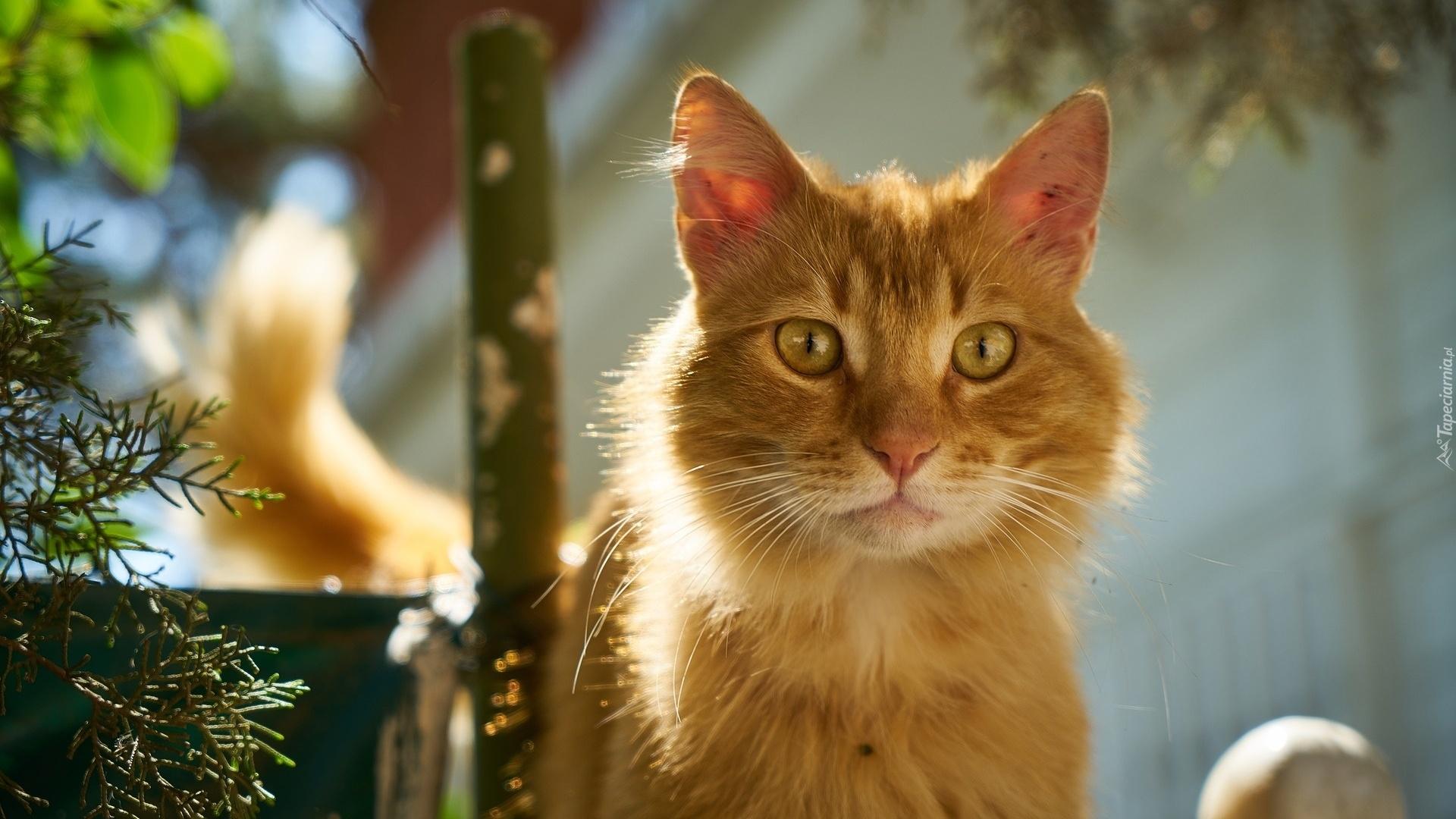 Rudy Kot O Zaciekawionym Spojrzeniu