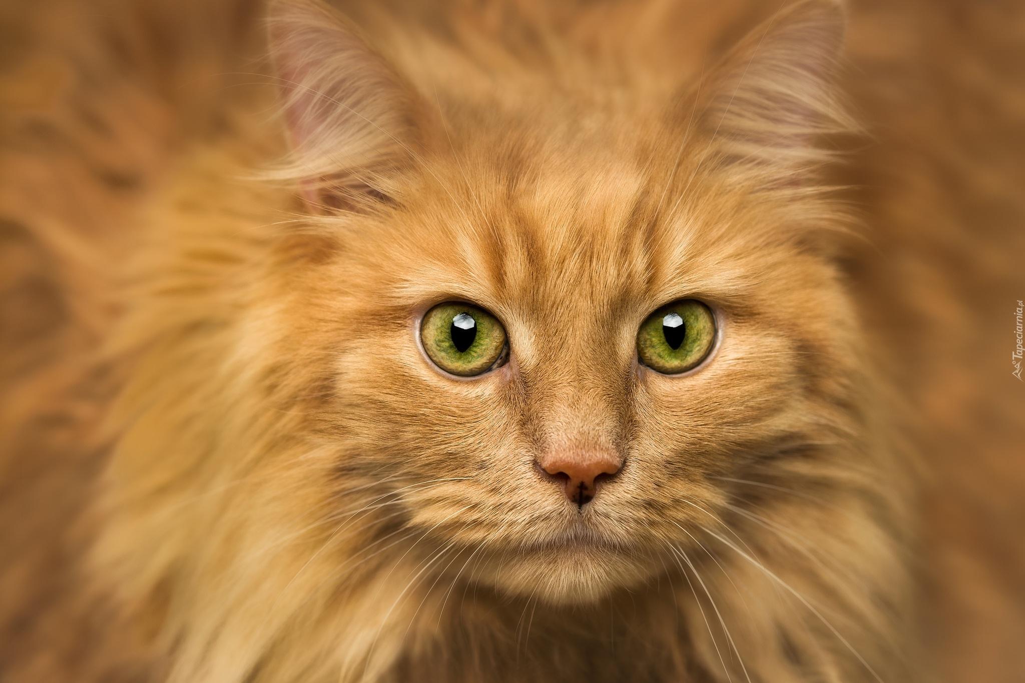 Rudy Kot O Zielonych Oczach