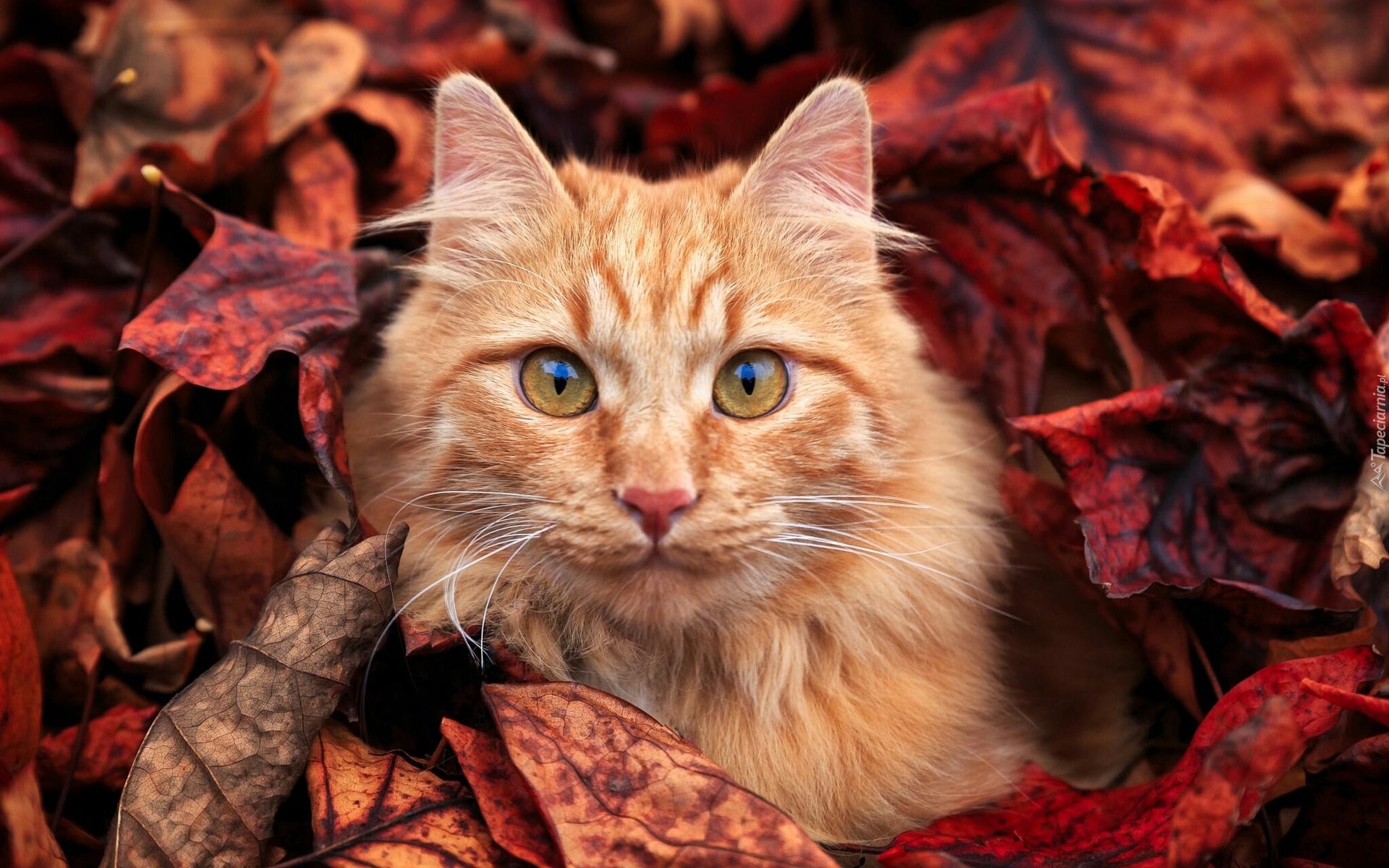 Rudy Kot W Jesiennych Liściach