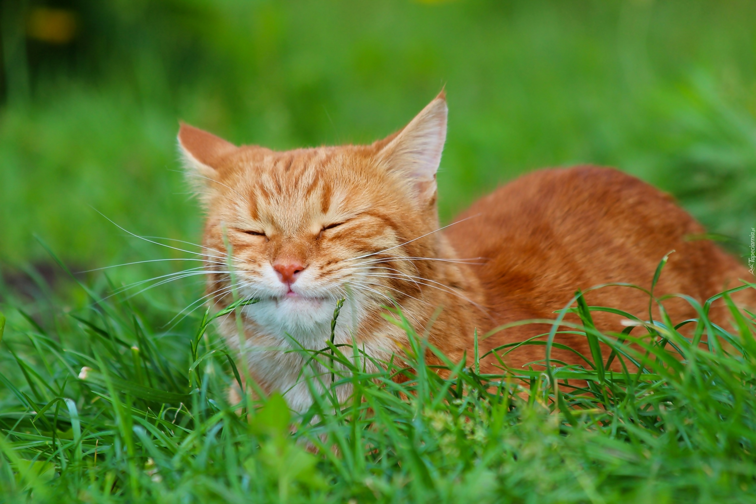 Rudy Kot Z Zamkniętymi Oczami W Trawie