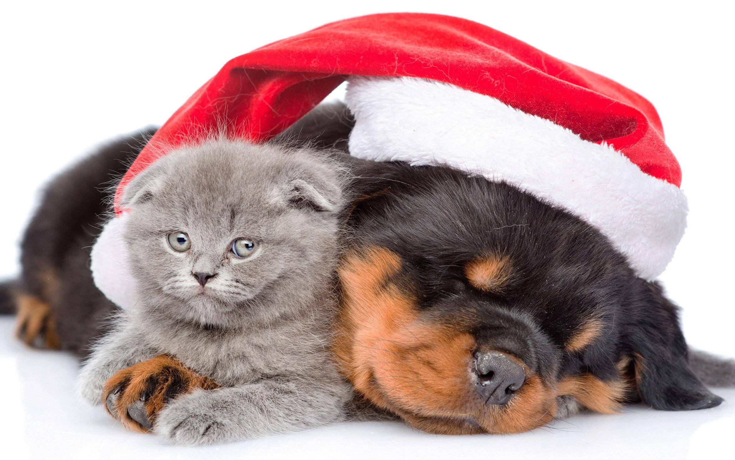 śpiący Piesek W Czapce Mikołaja Obejmuje Kotka