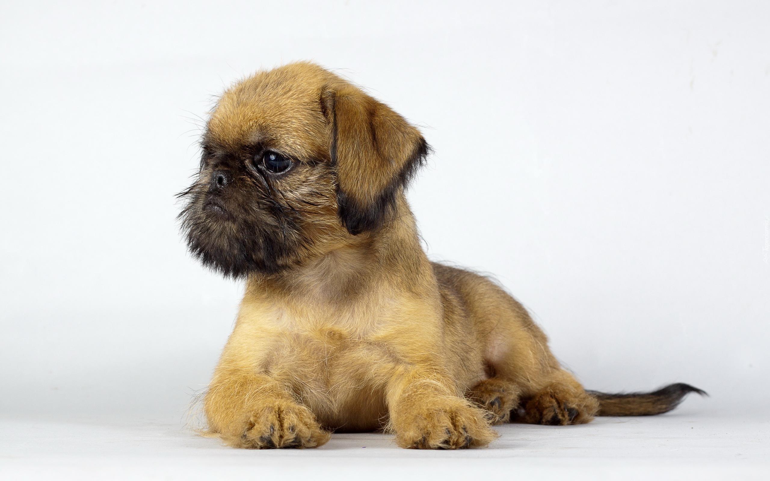 A Basenji Dog Tapety : Gryfonik bruk...