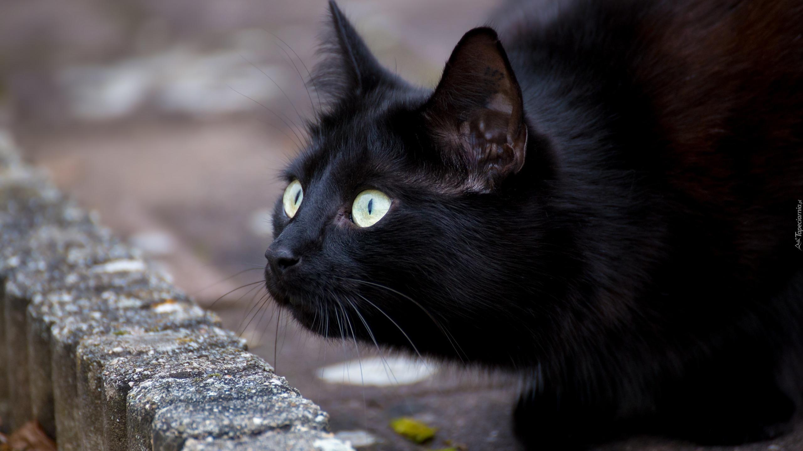 Wypatrujący Czarny Kot