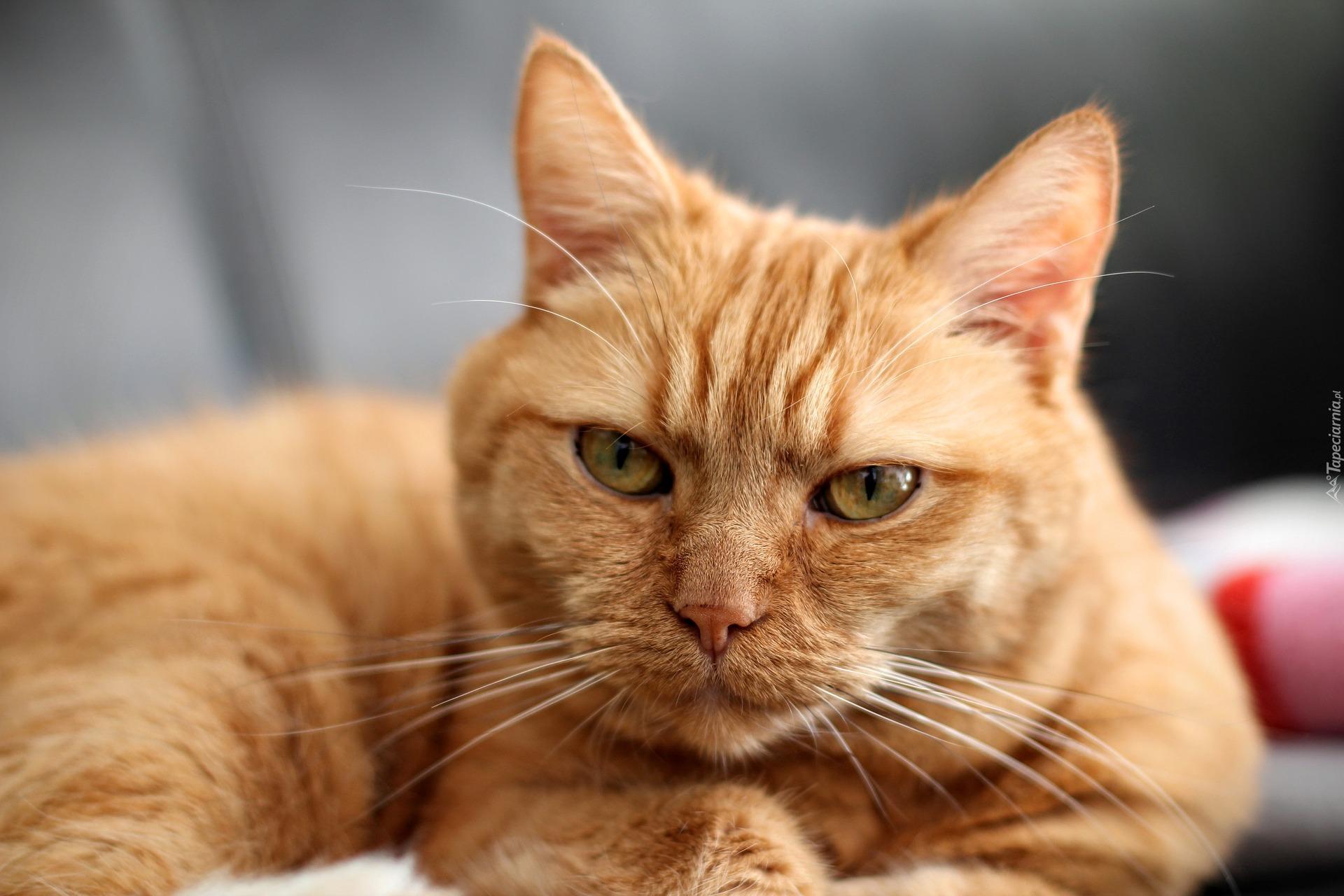 Zamyślony Rudy Kot