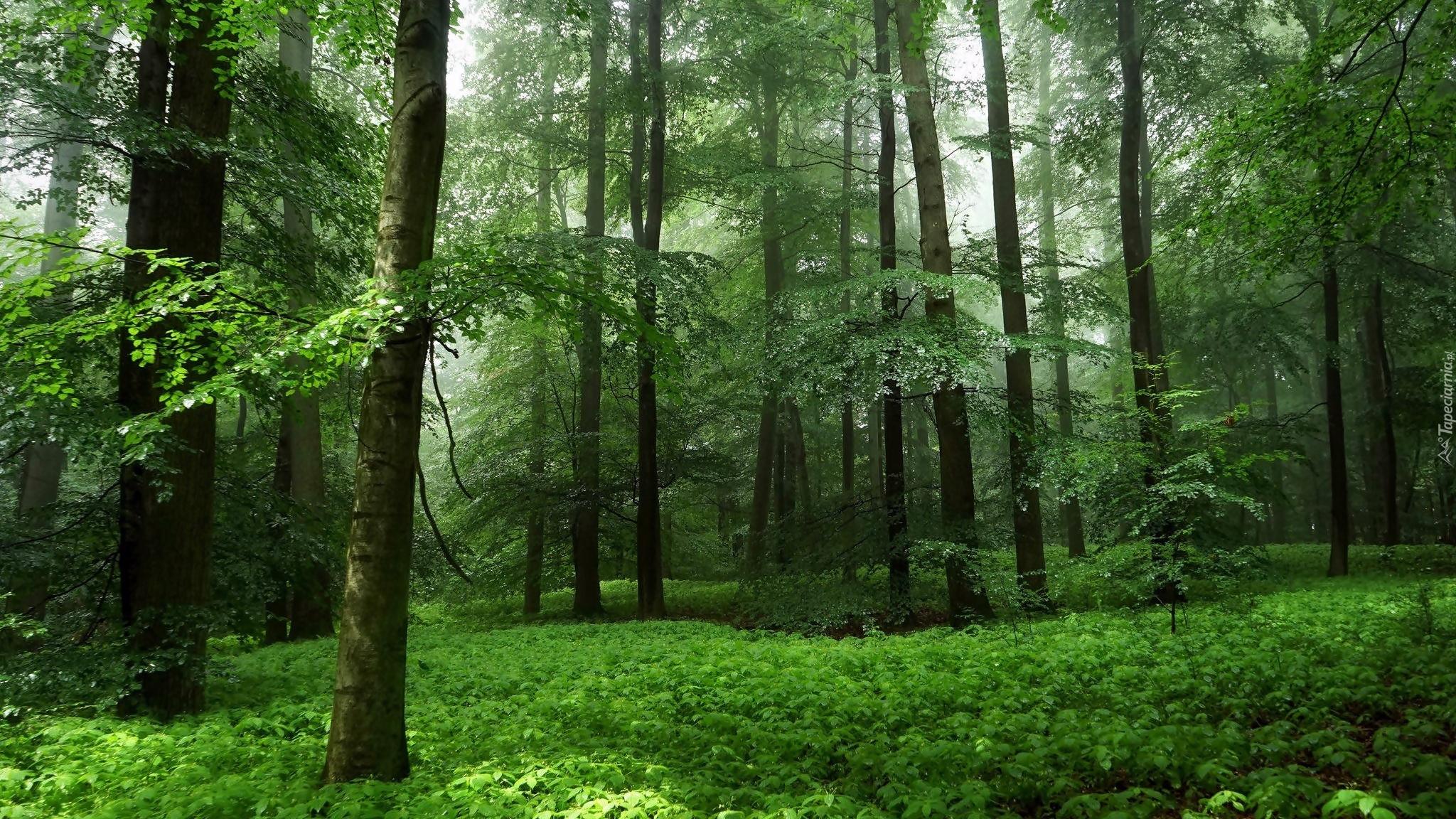 Zielony las wiosną