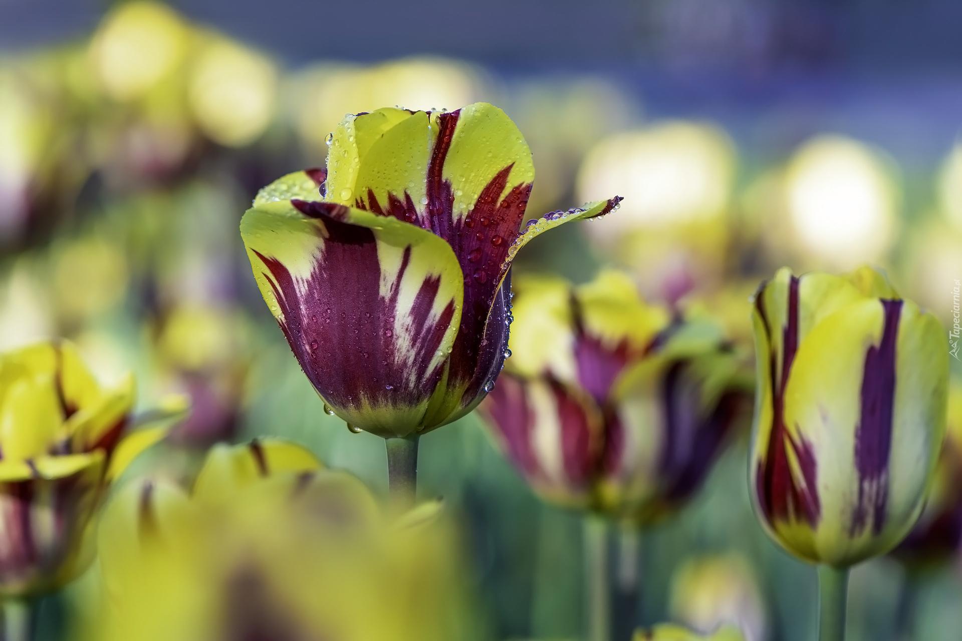 tapeta-zolto-fioletowe-tulipany-na-rozmytym-tle.jpg