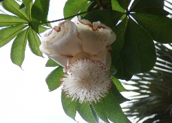 Kwiat, Baobabu, Adansonia Digitata