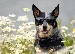 Okulary, Pies,  Australian cattle dog