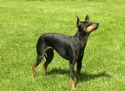 Angielski Toy Terrier