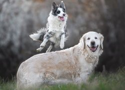 Border collie skaczacy przez golden retrievera