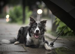 Pies, Border collie, Chodnik, Parasol