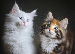 Dwa, Koty, Maine coon