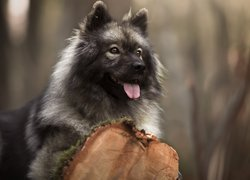 Szpic eurasier, Pień
